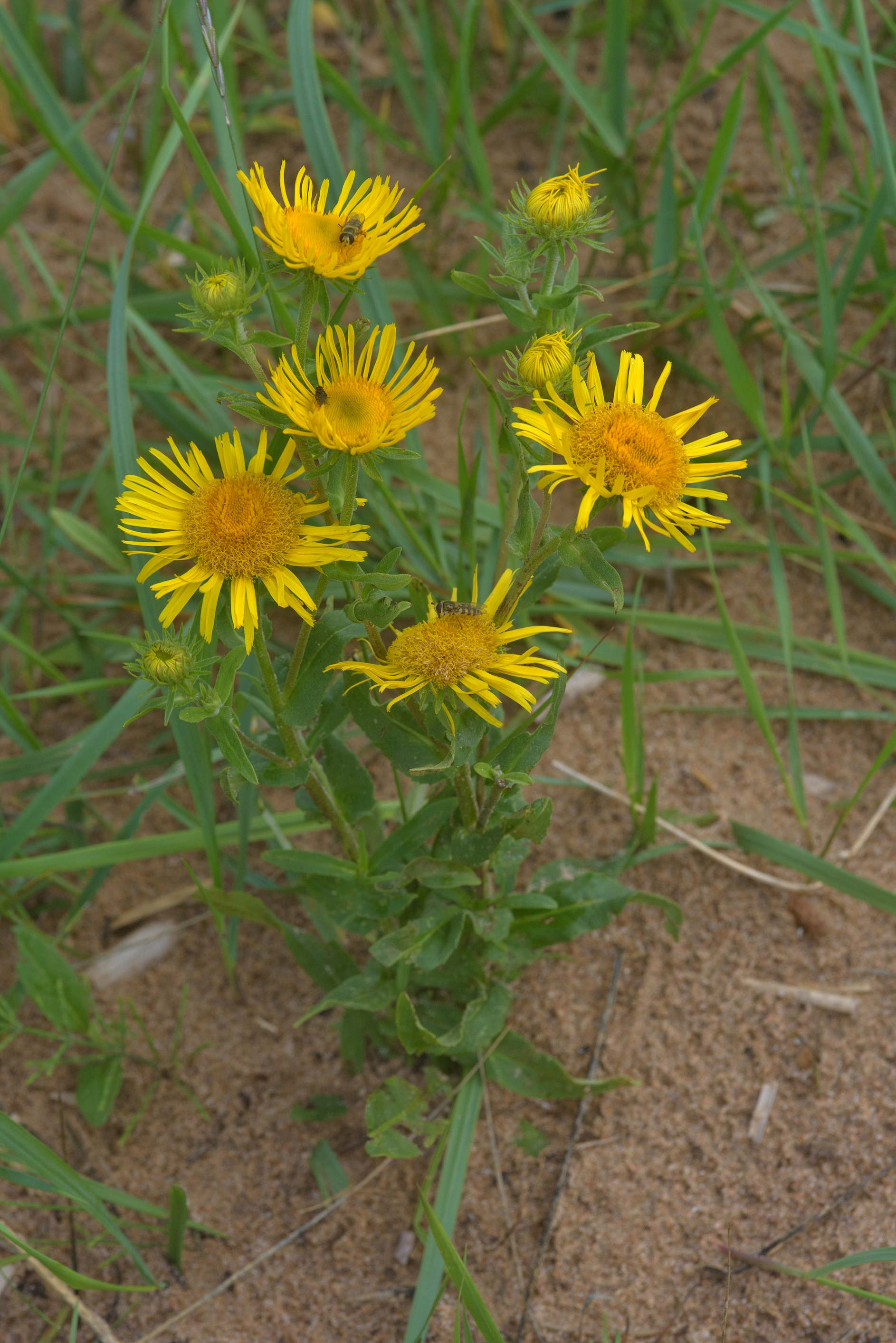 Meadow fleabane (Inula britannica, Russian name...north-west from St.Petersburg. Russia