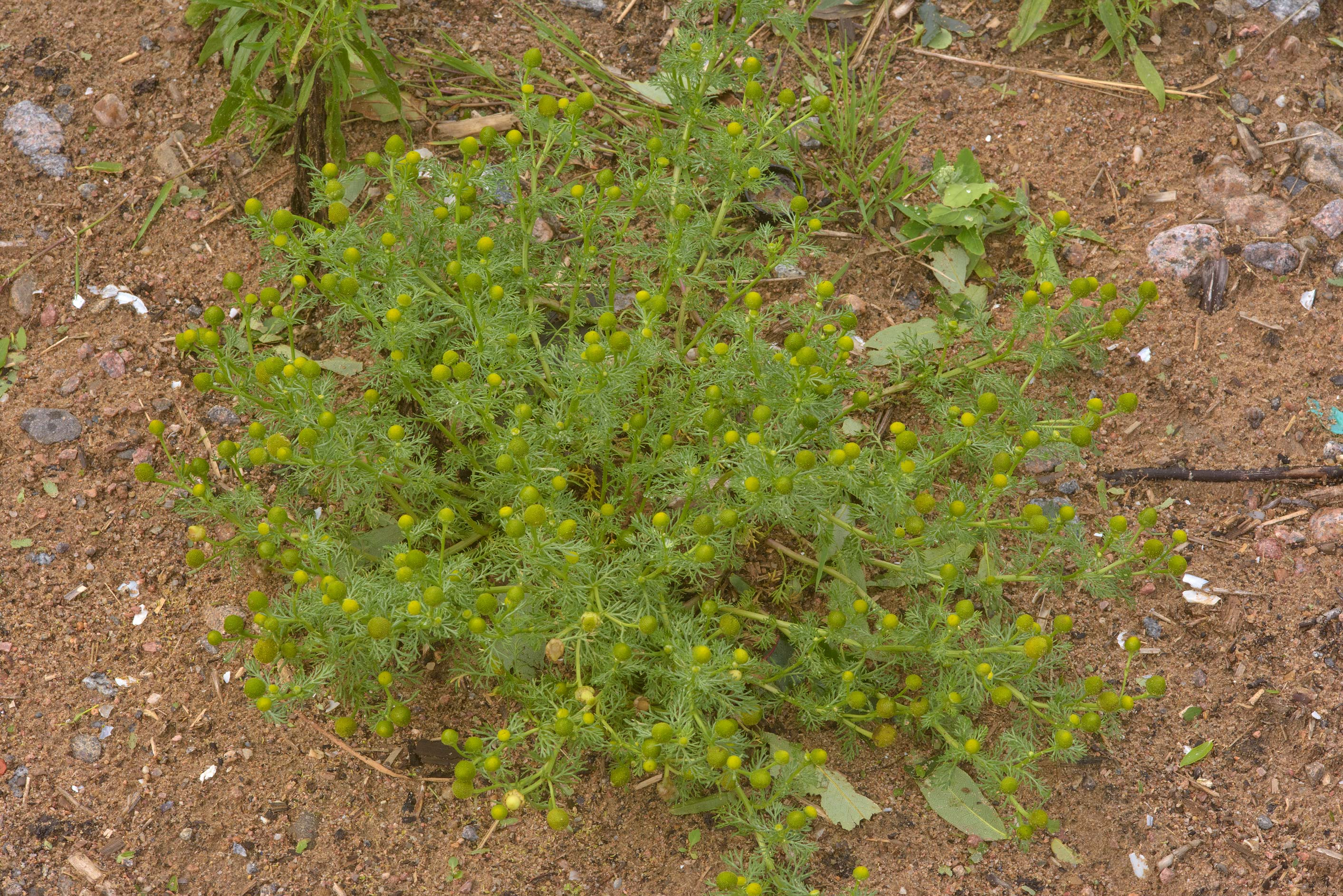 Pineappleweed (Matricaria discoidea, Chamomilla...north-west from St.Petersburg. Russia