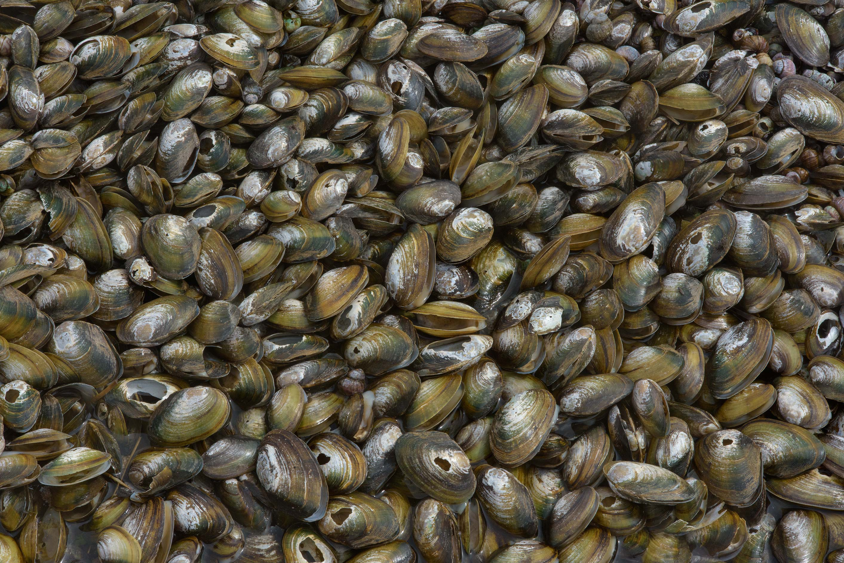 Shells of swan mussels (Anodonta cygnea, Russian...north-west from St.Petersburg. Russia