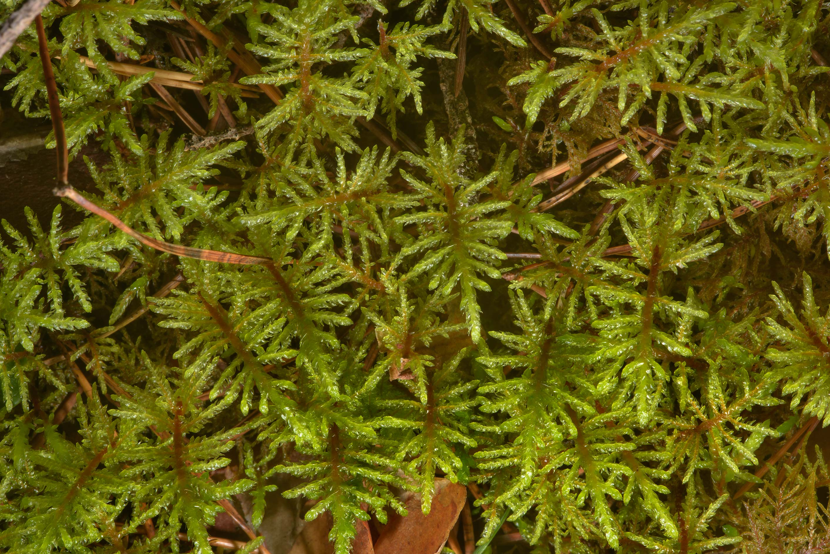 Glittering wood-moss (Hylocomium splendens) in a...miles south from St.Petersburg. Russia