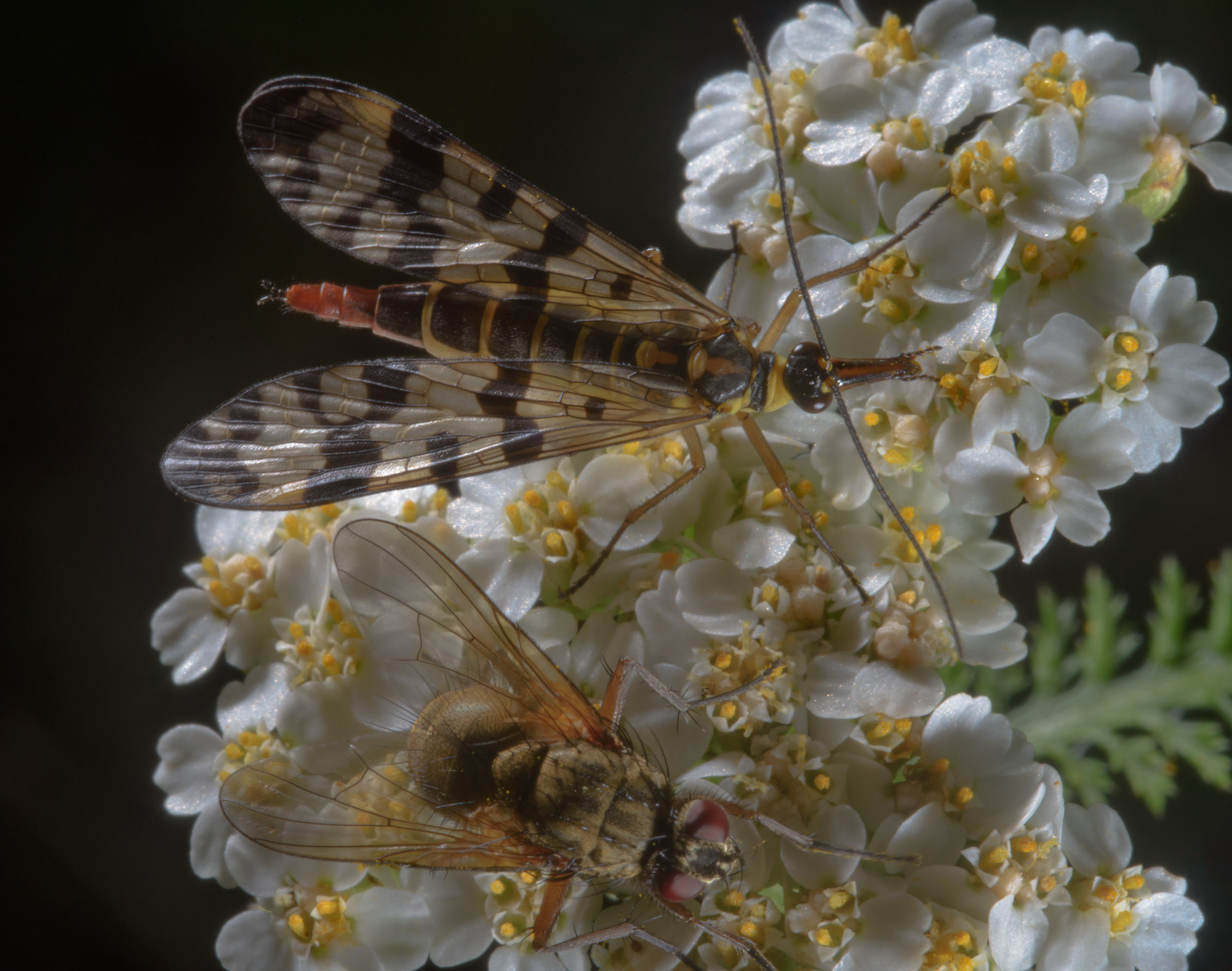 Scorpionfly and a fly on flowers of yarrow...miles south from St.Petersburg. Russia
