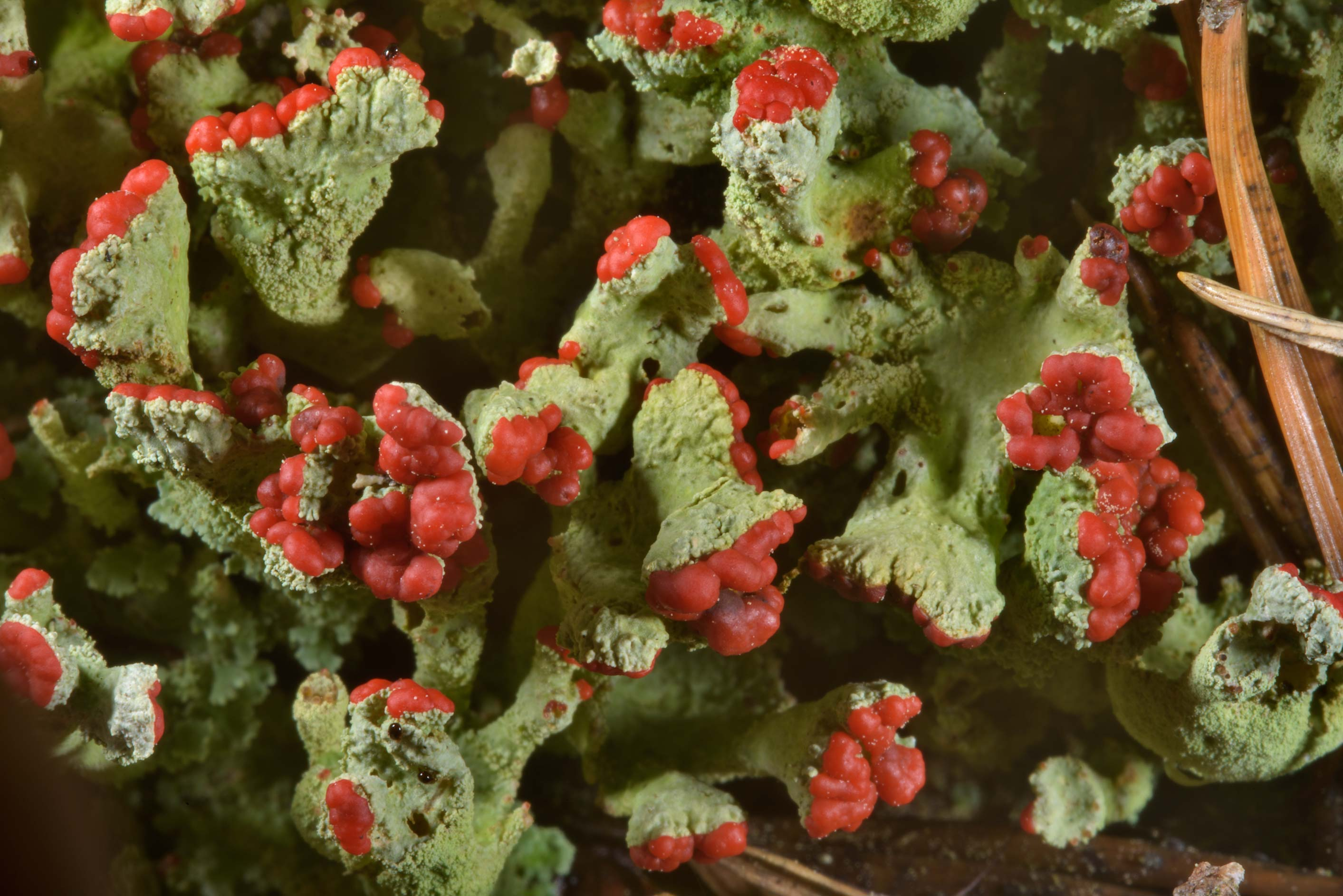 Cladonia lichen with red spore reproducing organs...miles south from St.Petersburg. Russia
