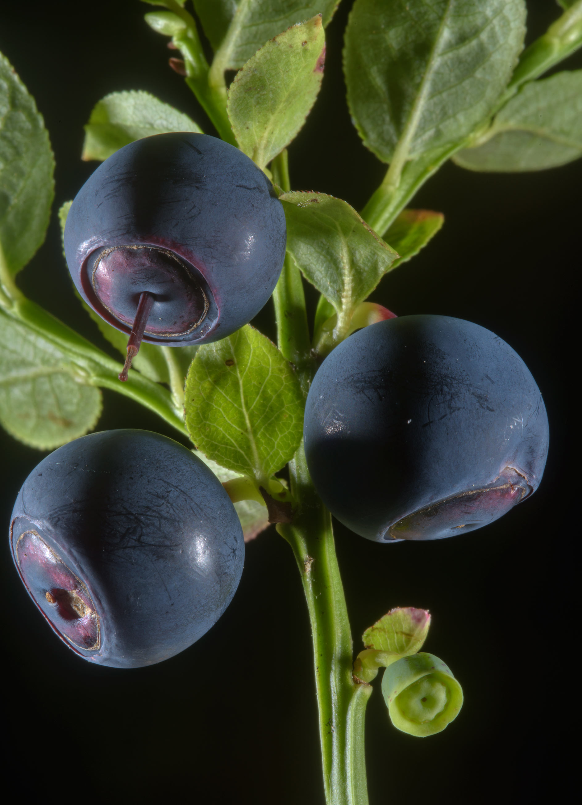 Blueberry (bilberry, Vaccinium myrtillus, Russian...miles south from St.Petersburg. Russia