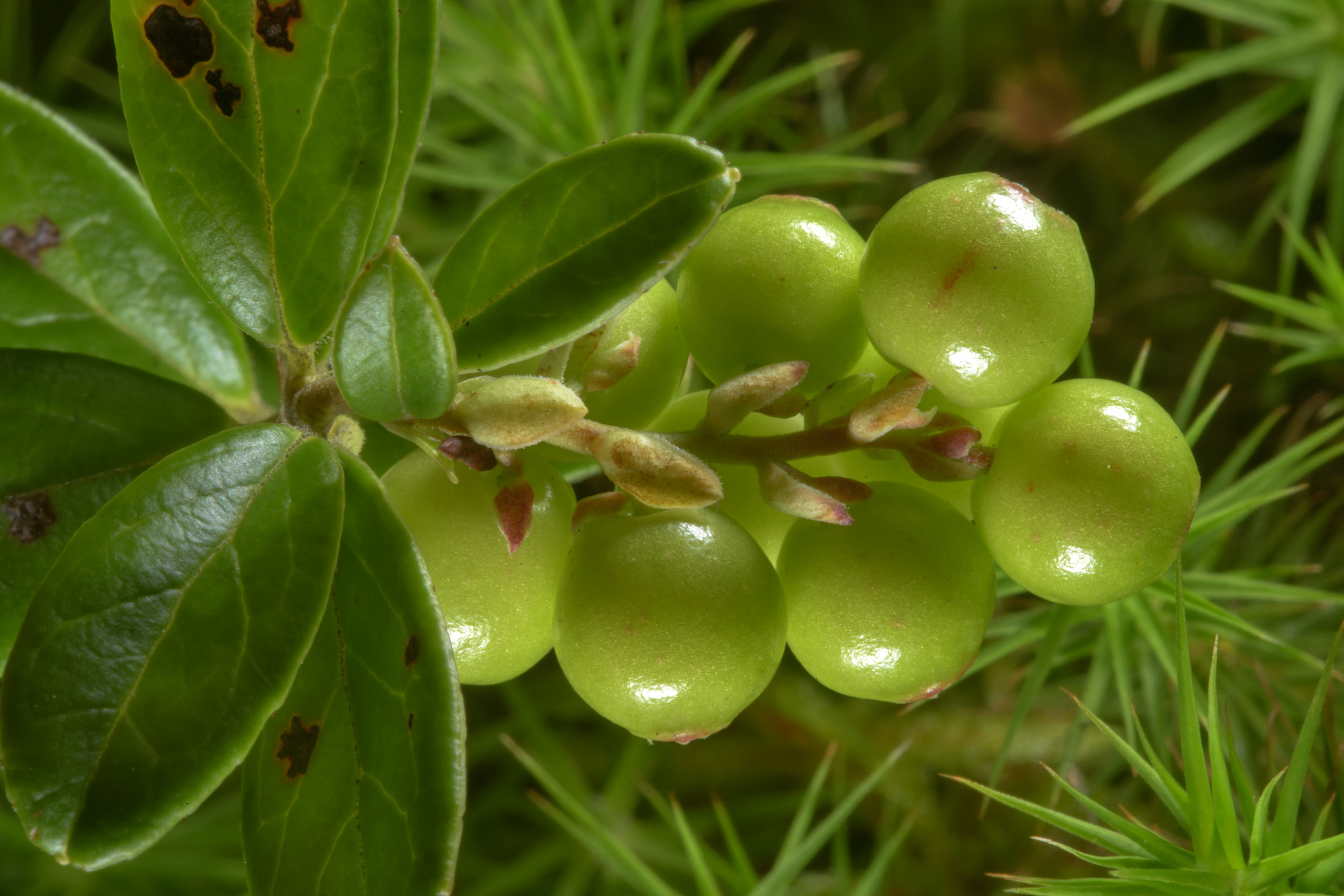 Unripe green cowberry (lingonberry, Vaccinium...miles south from St.Petersburg. Russia