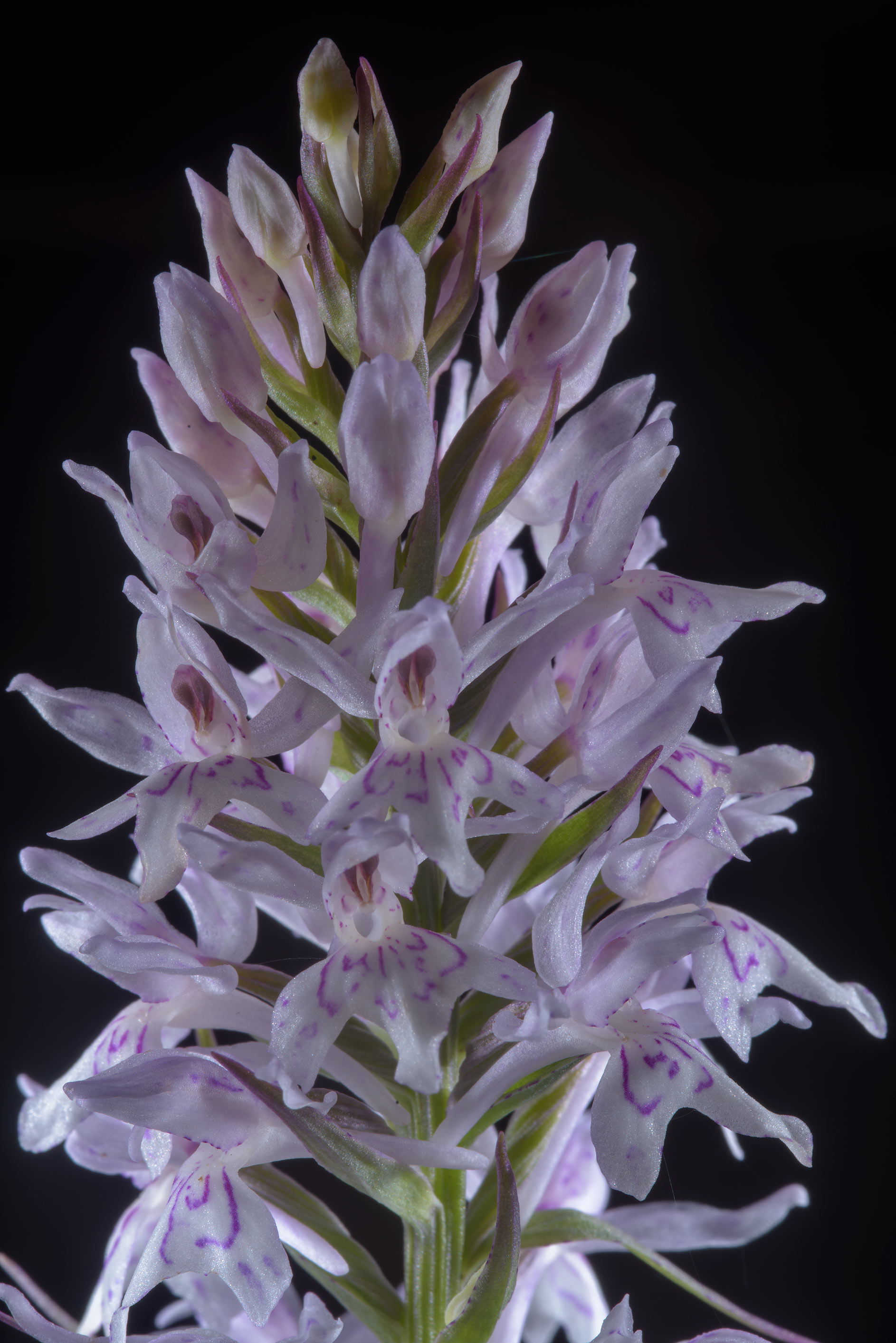 Pink flower spike of heath spotted-orchid...miles north from St.Petersburg. Russia