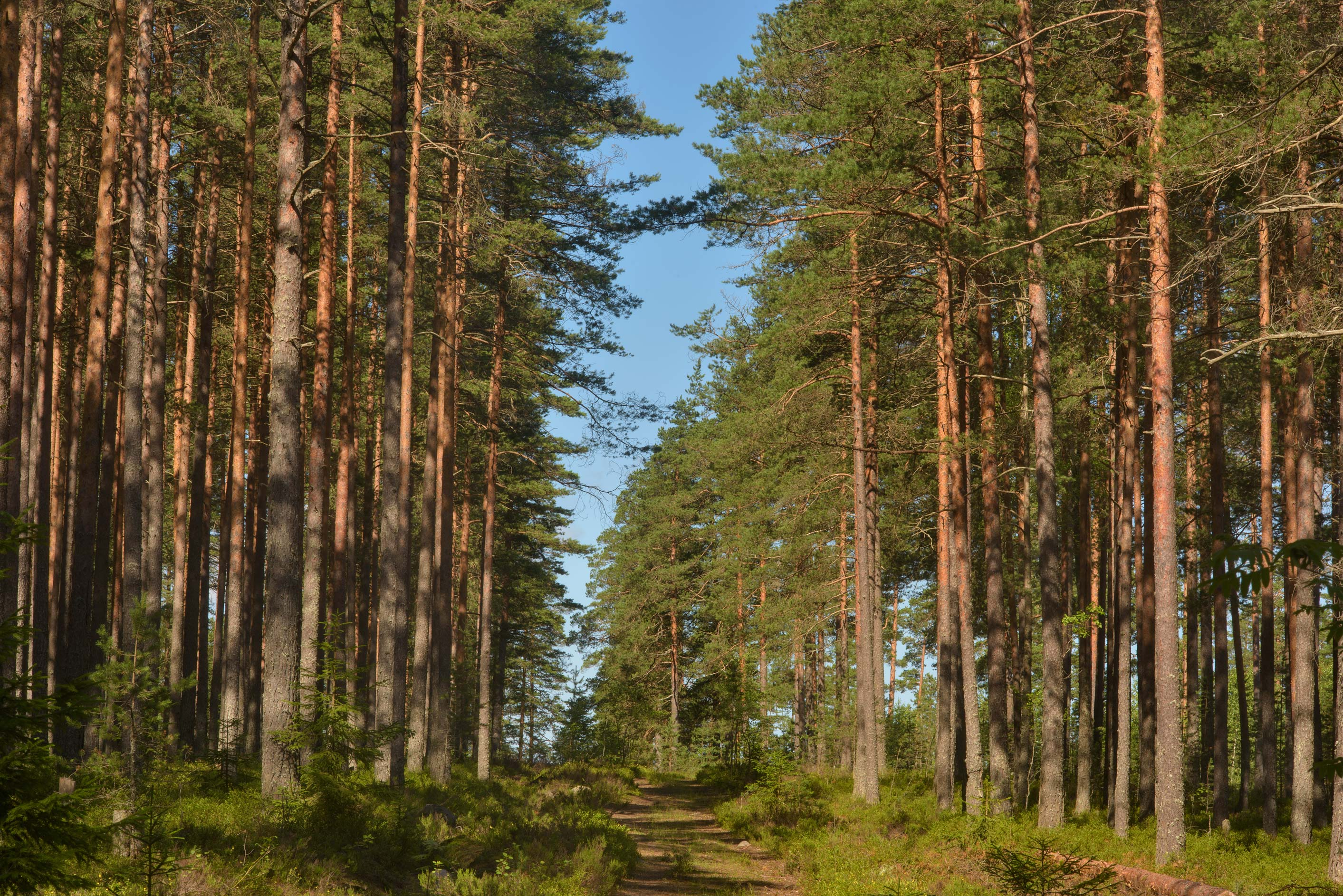 Cutting in a pine tree forest in Zakhodskoe, 50 miles north from St.Petersburg. Russia