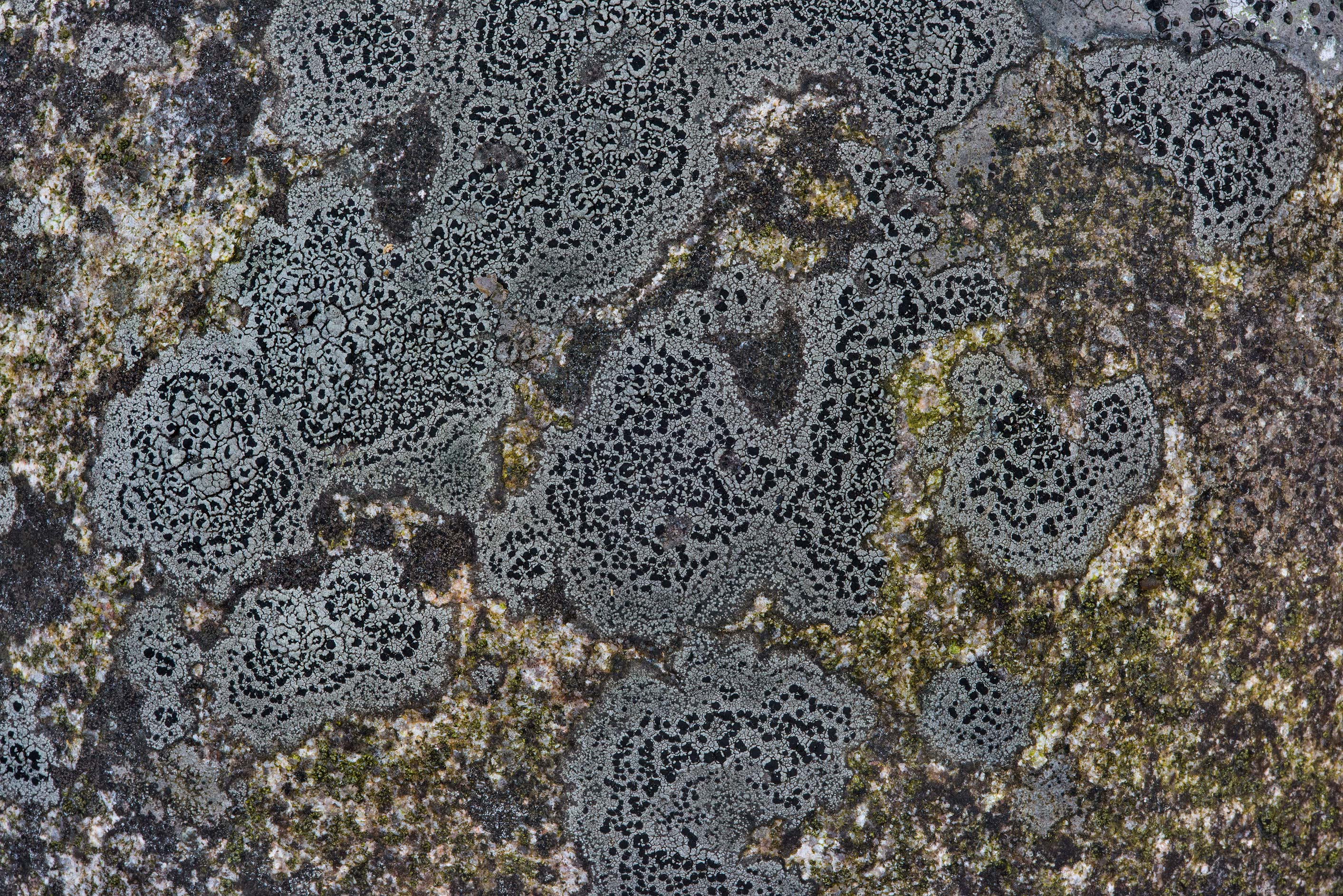 Crustose lichen on the surface of a rock in...miles north from St.Petersburg. Russia