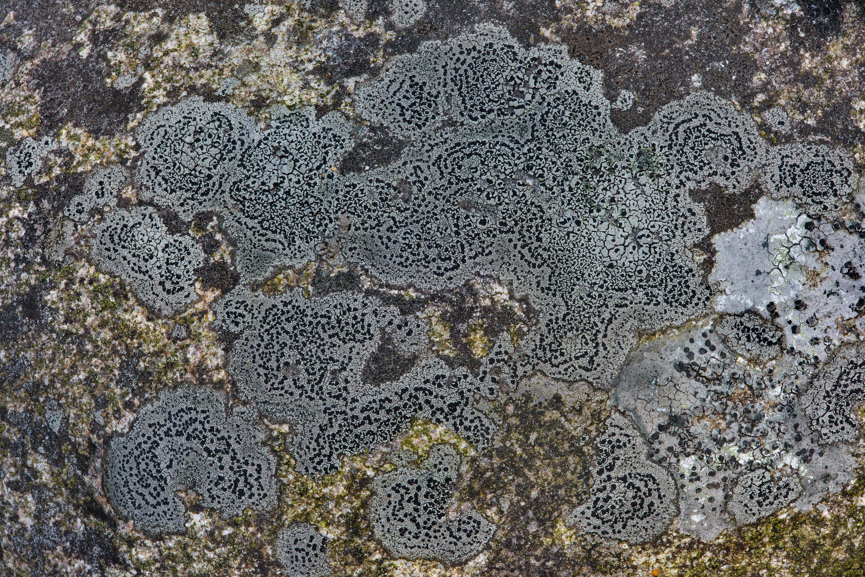Black and grey crustose lichen on the surface of...miles north from St.Petersburg. Russia