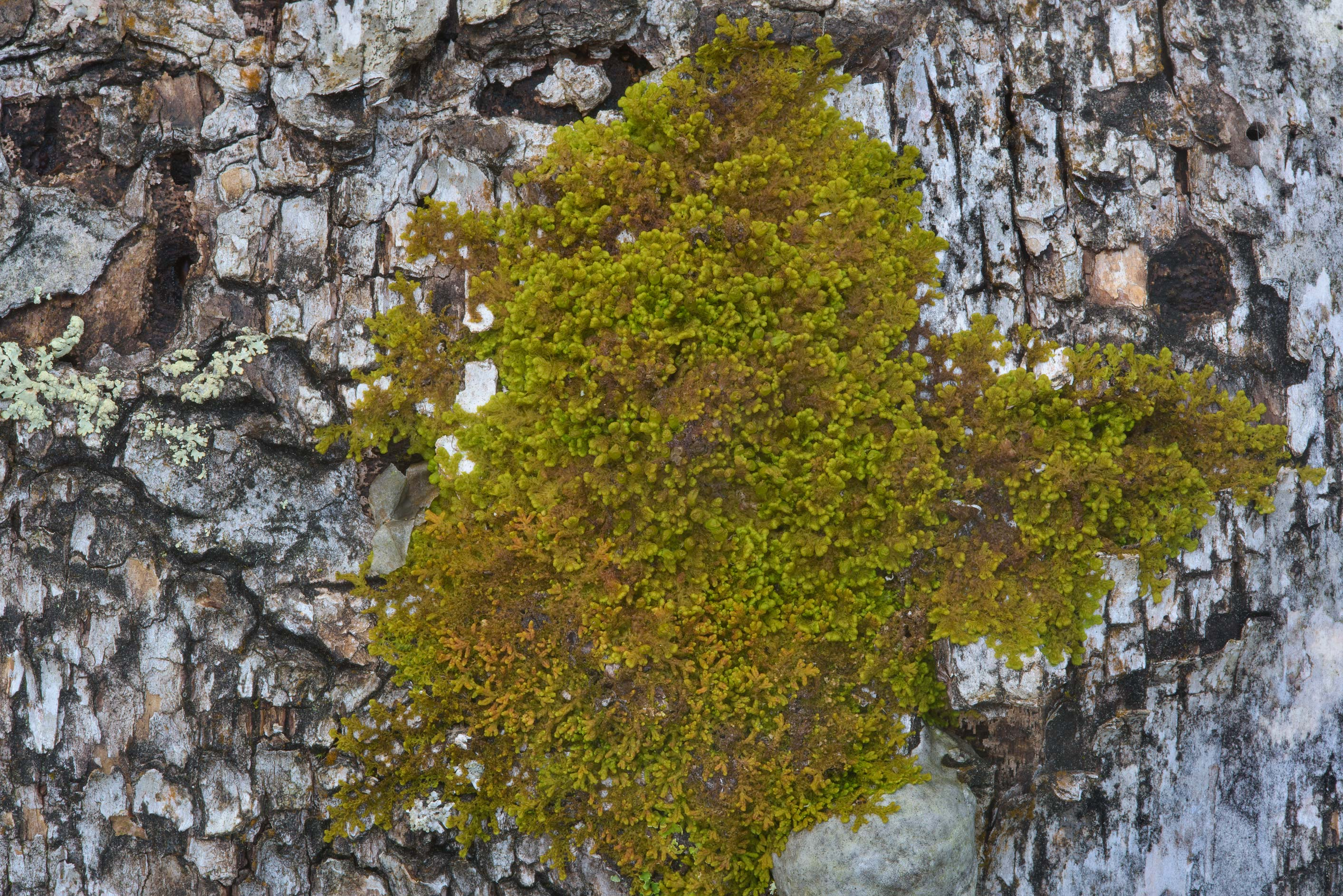 Green moss on birch in Zakhodskoe, 50 miles north from St.Petersburg. Russia