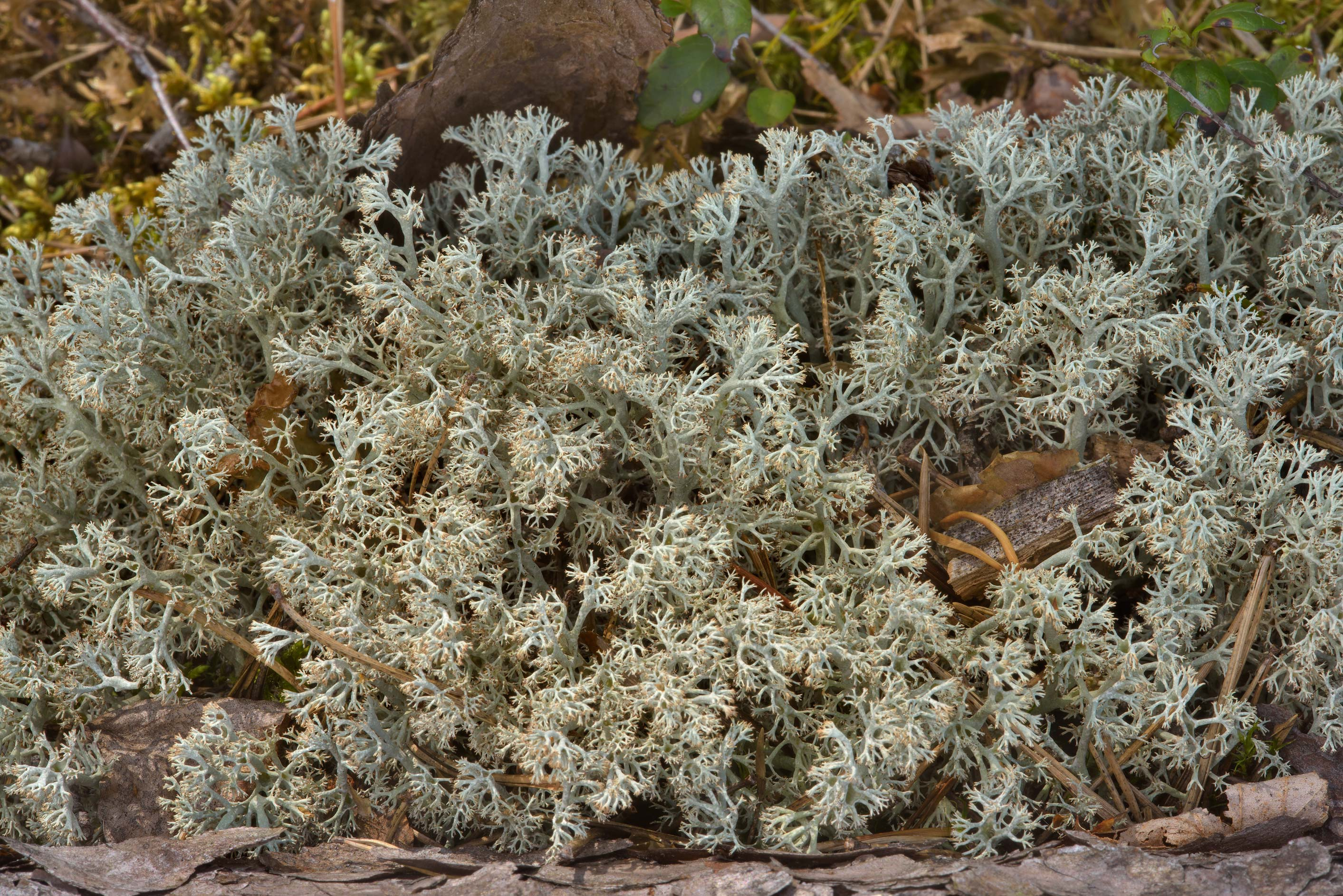 Cladonia lichen in Zakhodskoe, 50 miles north from St.Petersburg. Russia