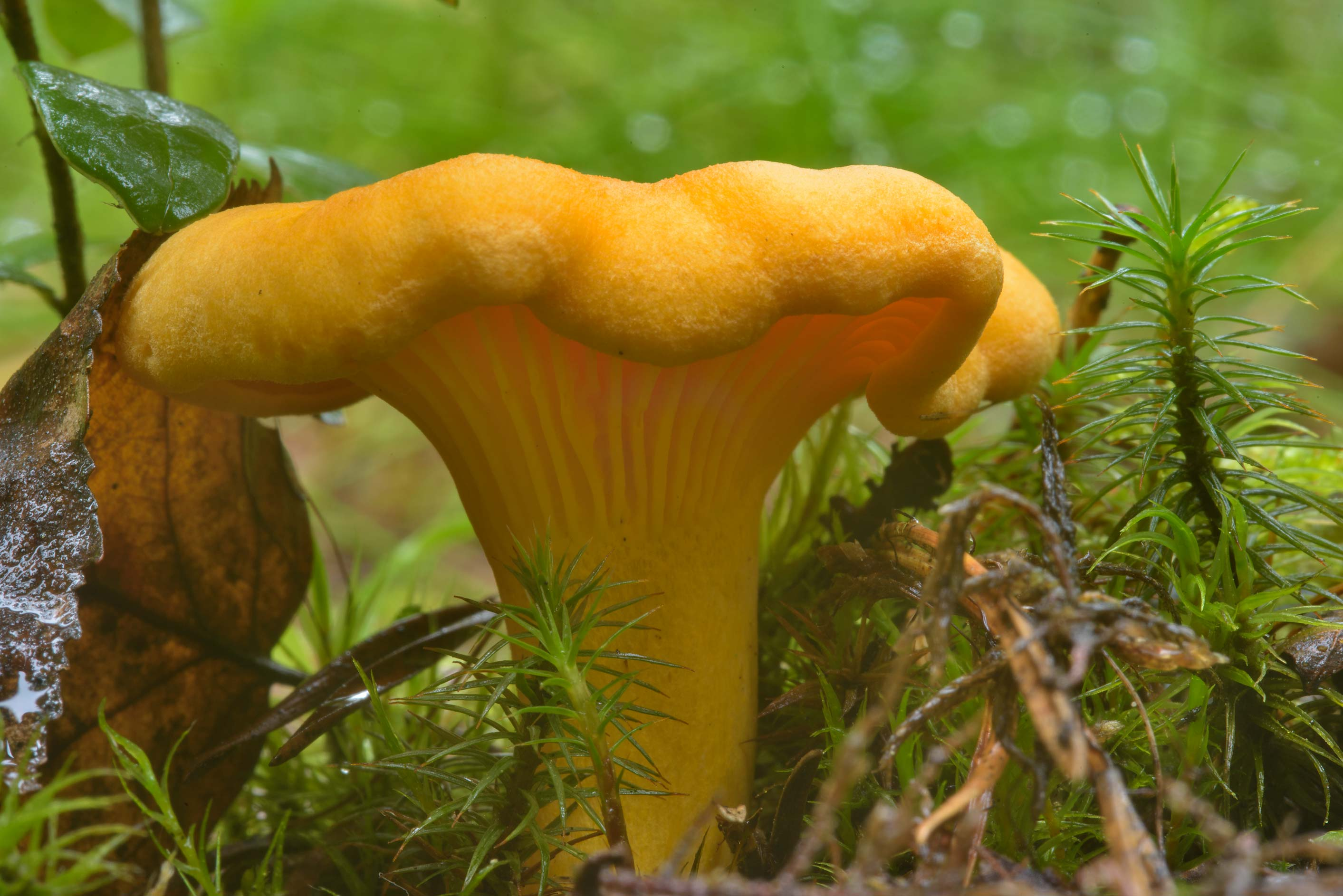 Chanterelle mushroom (Cantharellus cibarius...miles north from St.Petersburg. Russia