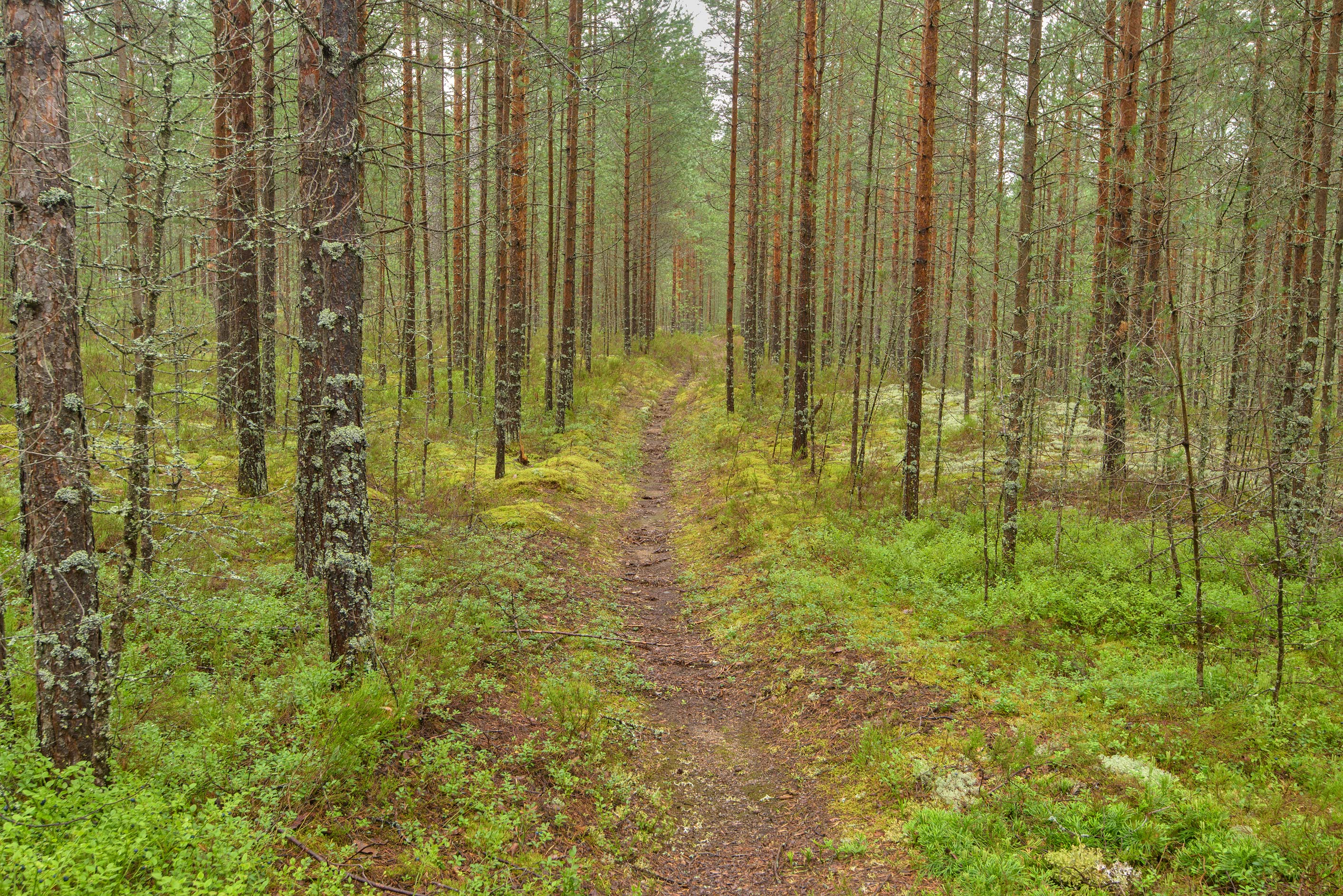 Cutting in a pine forest near Orekhovo, 40 miles north from St.Petersburg. Russia