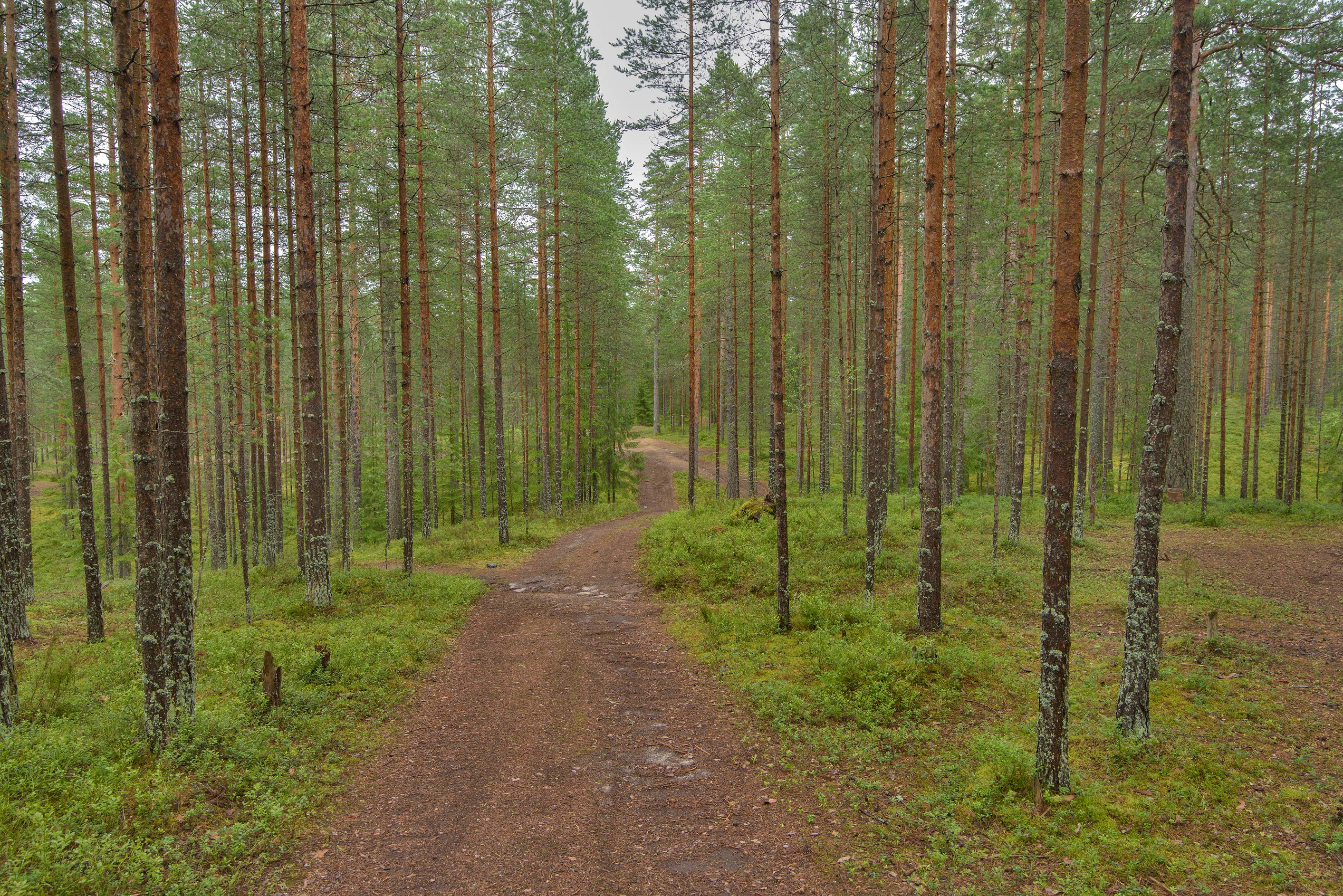 Road in a pine forest near Orekhovo, 40 miles north from St.Petersburg. Russia