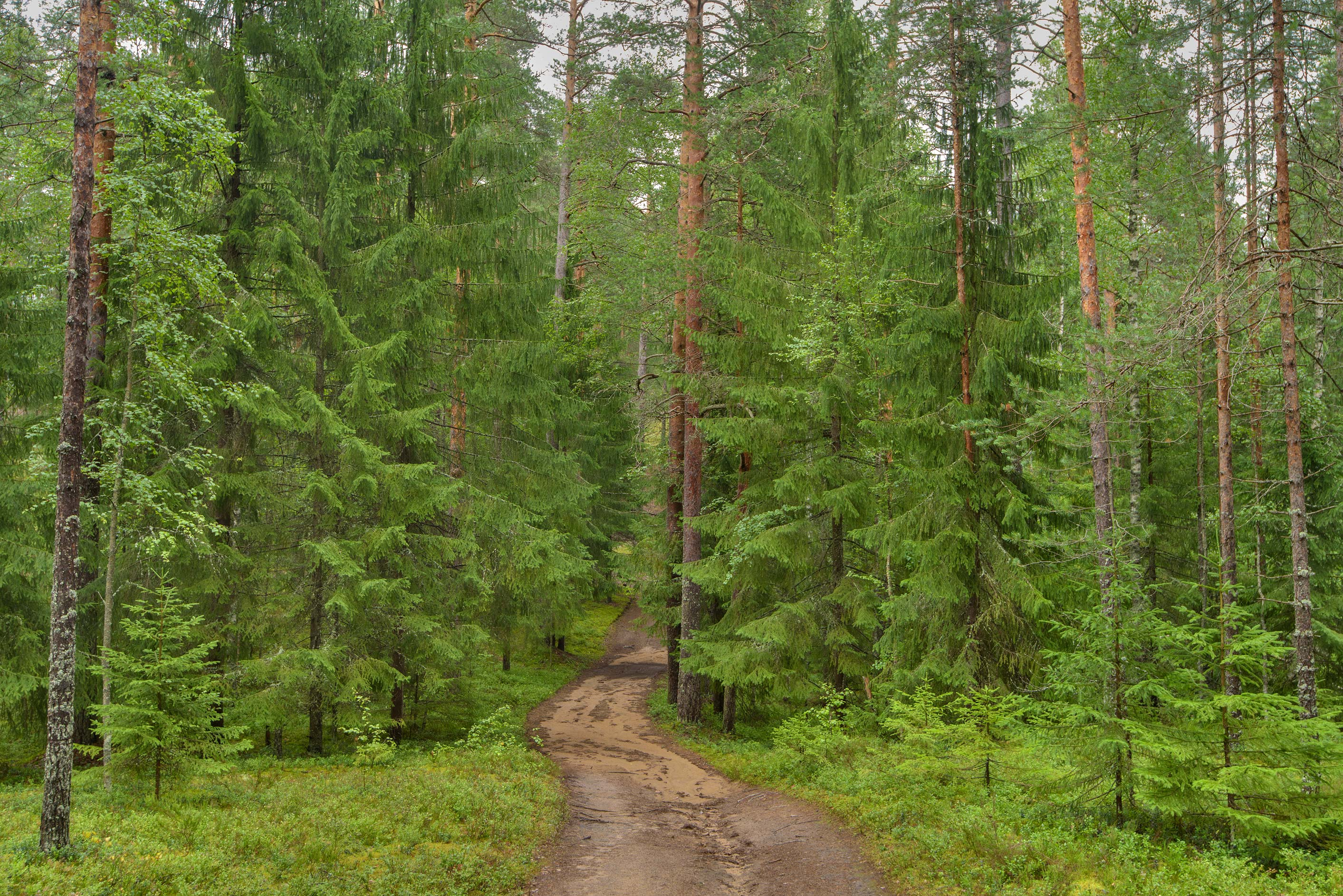 Road in a spruce forest near Orekhovo, 40 miles north from St.Petersburg. Russia