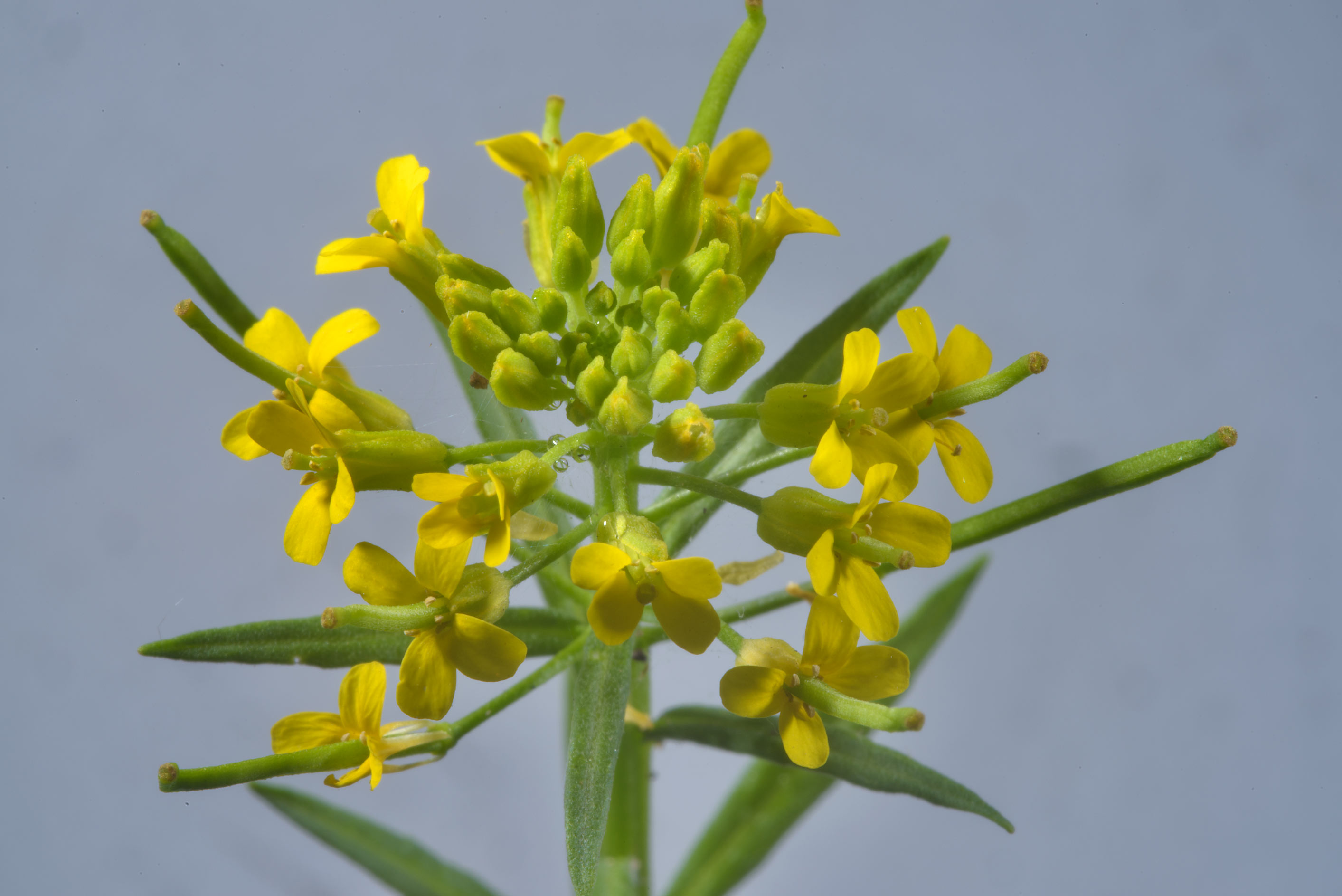 Photo 1855 10 Flowers Of Common Winter Cress Yellow Rocket