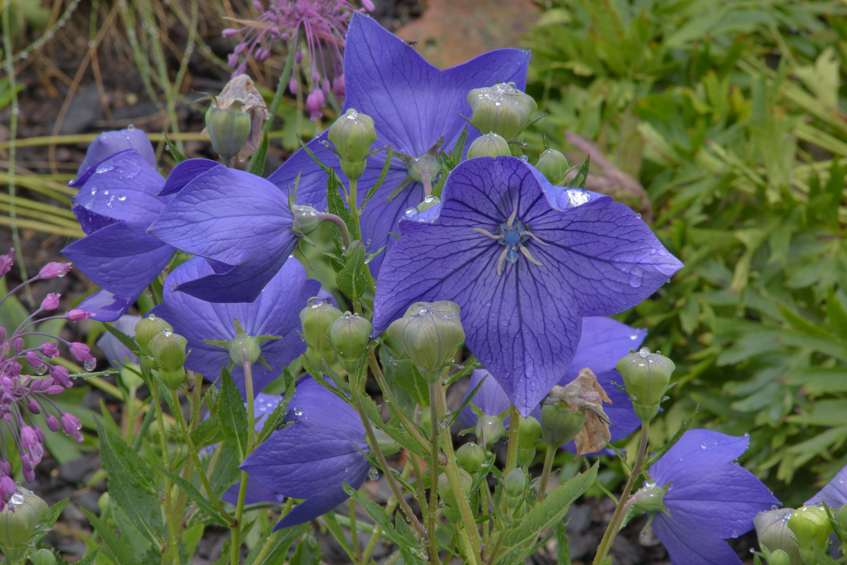 Balloon flower (Chinese bellflower, Platycodon...Institute. St.Petersburg, Russia