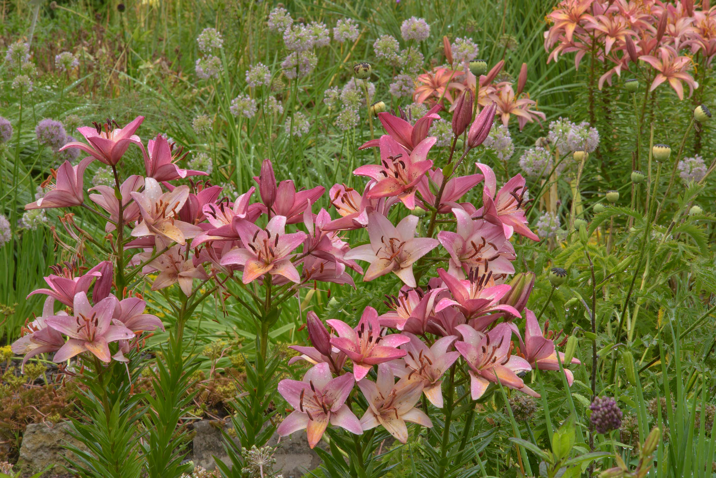 Pink lilies in Botanic Gardens of Komarov Botanical Institute. St.Petersburg, Russia