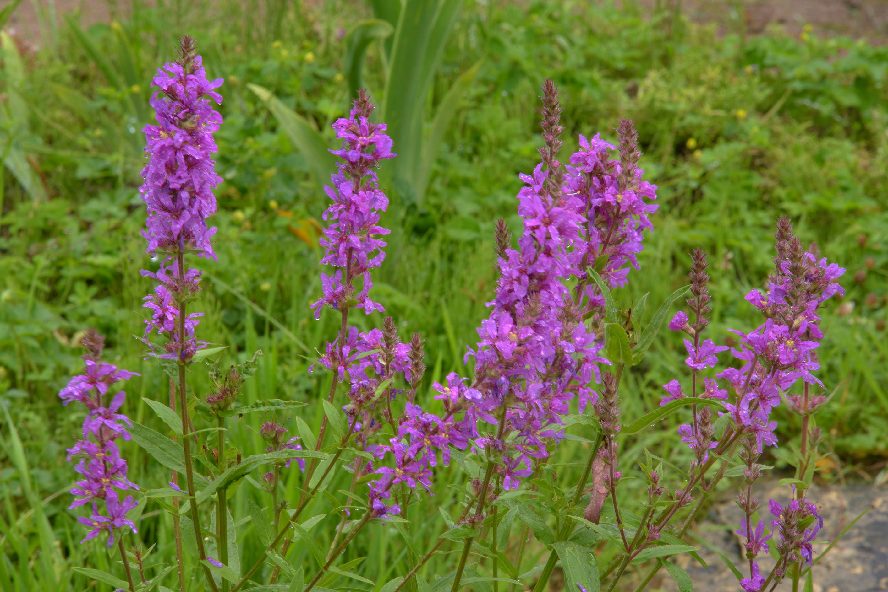 Purple Loosestrife (Lythrum salicaria, Russian...Institute. St.Petersburg, Russia
