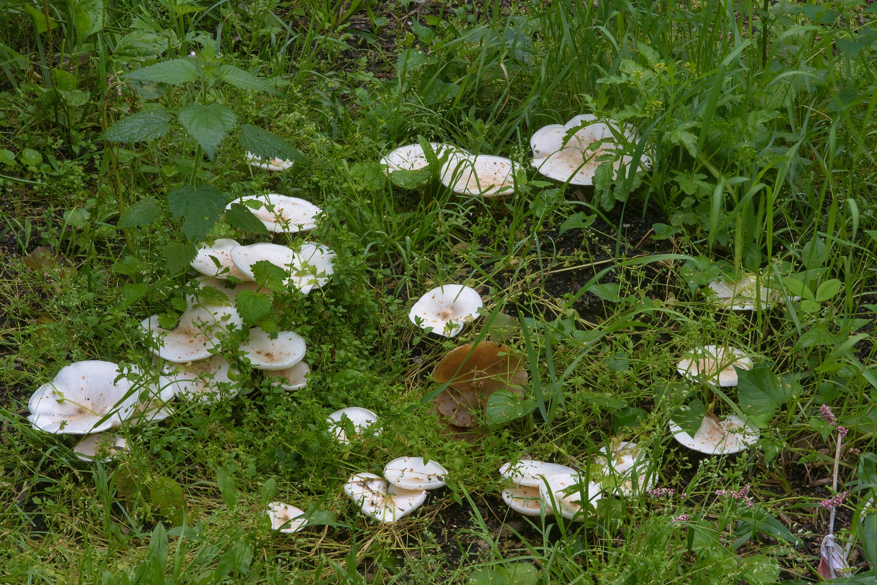 Fairy ring of Melanoleuca verrucipes mushrooms on...Sosnovka Park. St.Petersburg, Russia