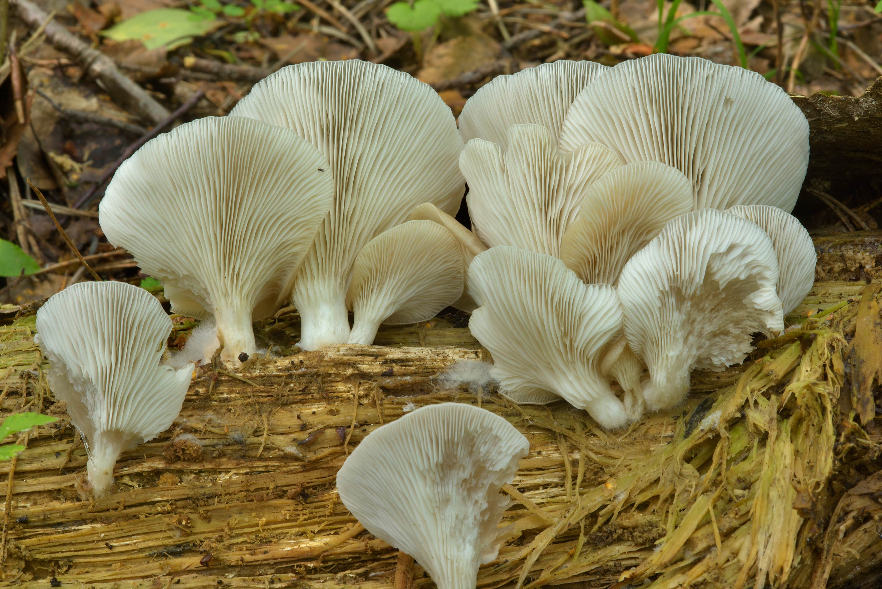 Gills of Oyster mushrooms (Pleurotus pulmonarius...Sosnovka Park. St.Petersburg, Russia