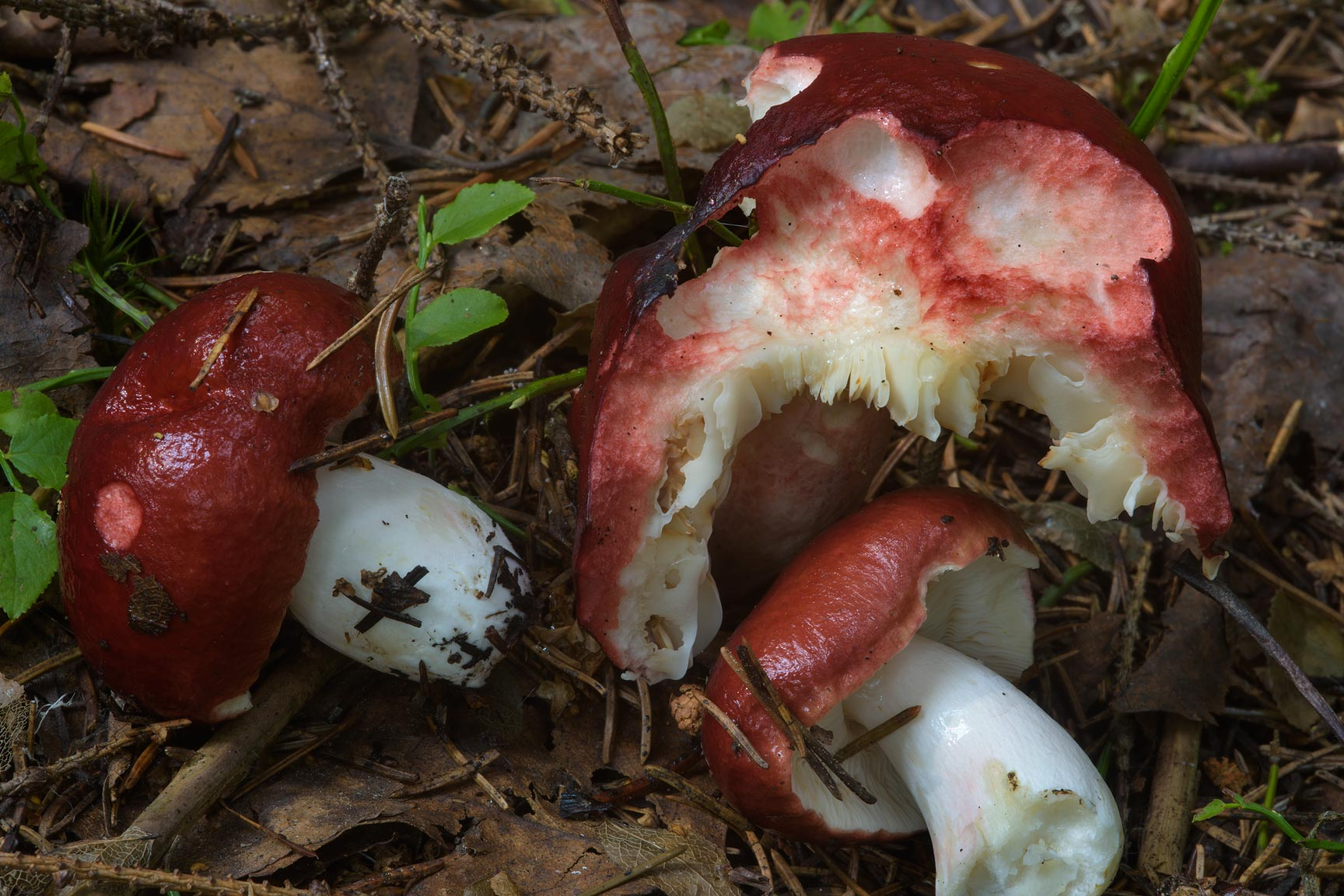 Dark red brittlegill mushrooms (Russula, Russian...north from St.Petersburg. Russia