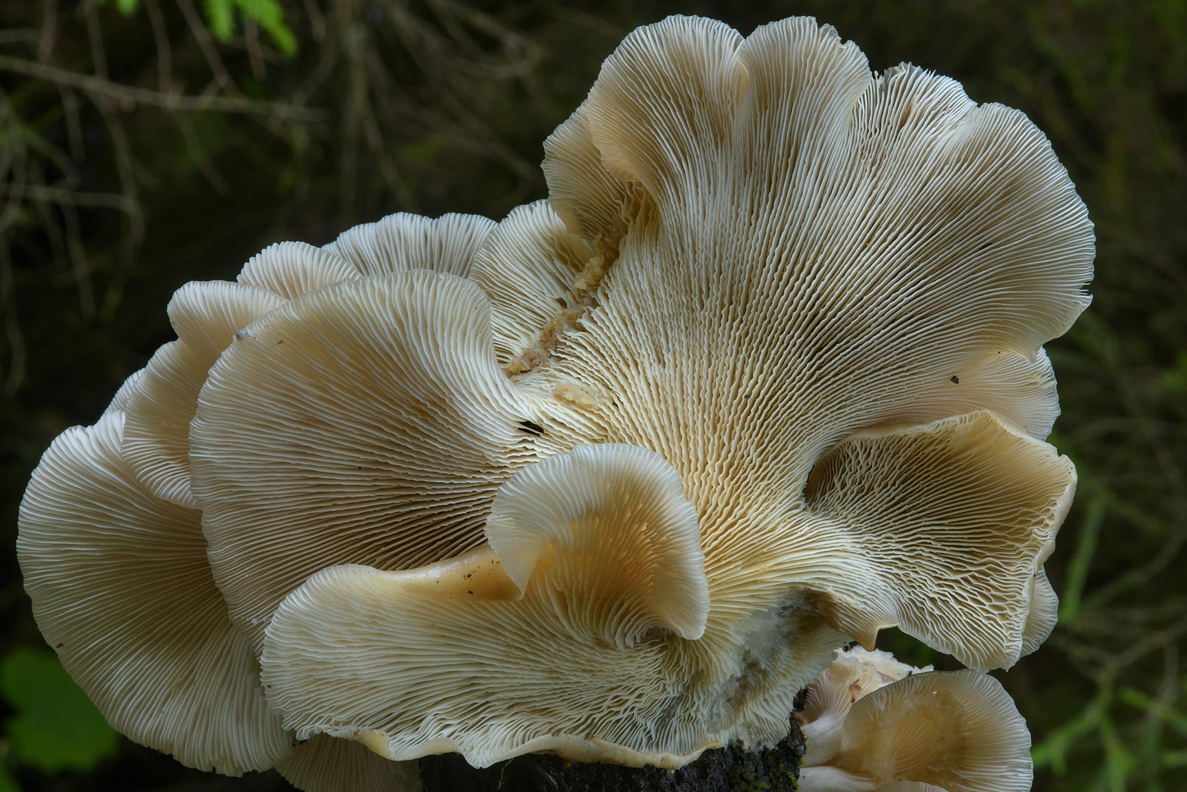 Gills of a large oyster mushroom (Pleurotus...north from St.Petersburg. Russia