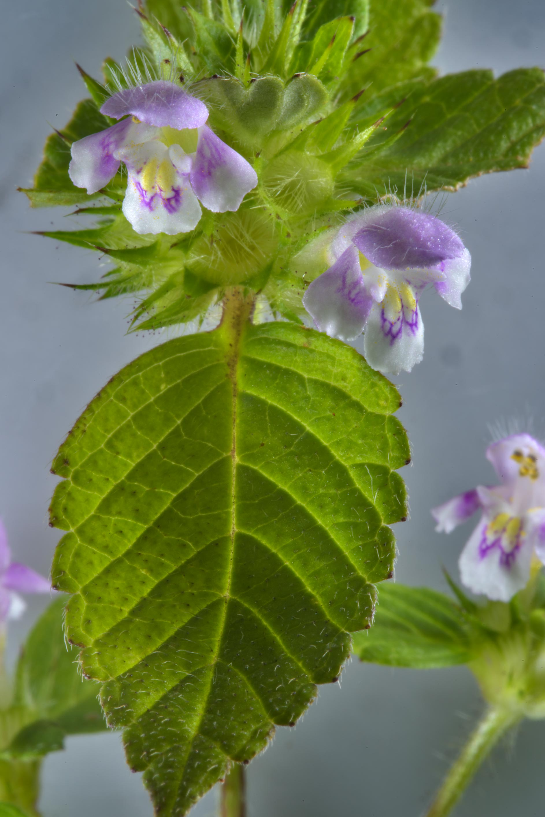 Hemp-nettle (Galeopsis speciosa, Russian name...in northern St.Petersburg. Russia
