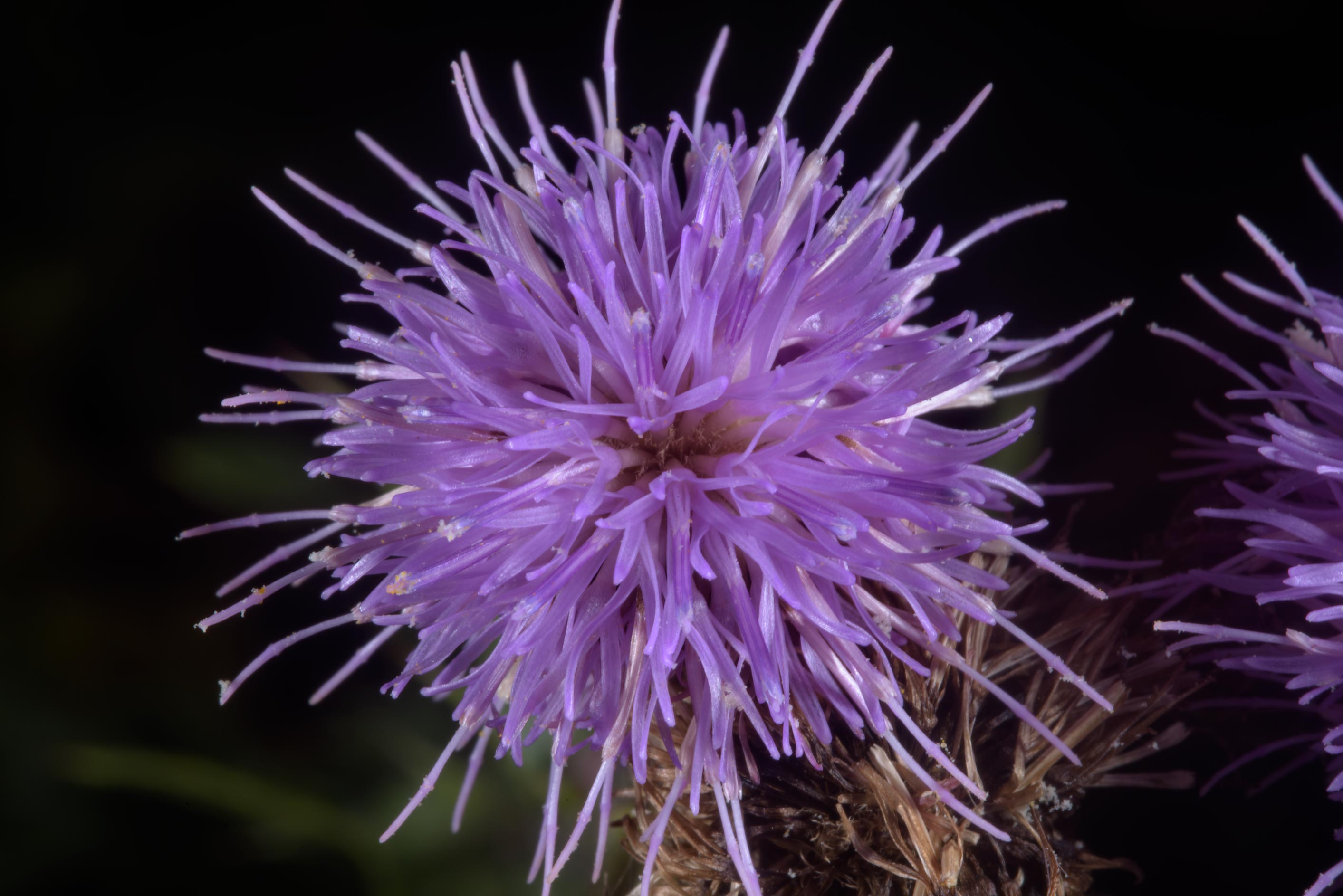 Flower of creeping thistle (Cirsium arvense...in northern St.Petersburg. Russia