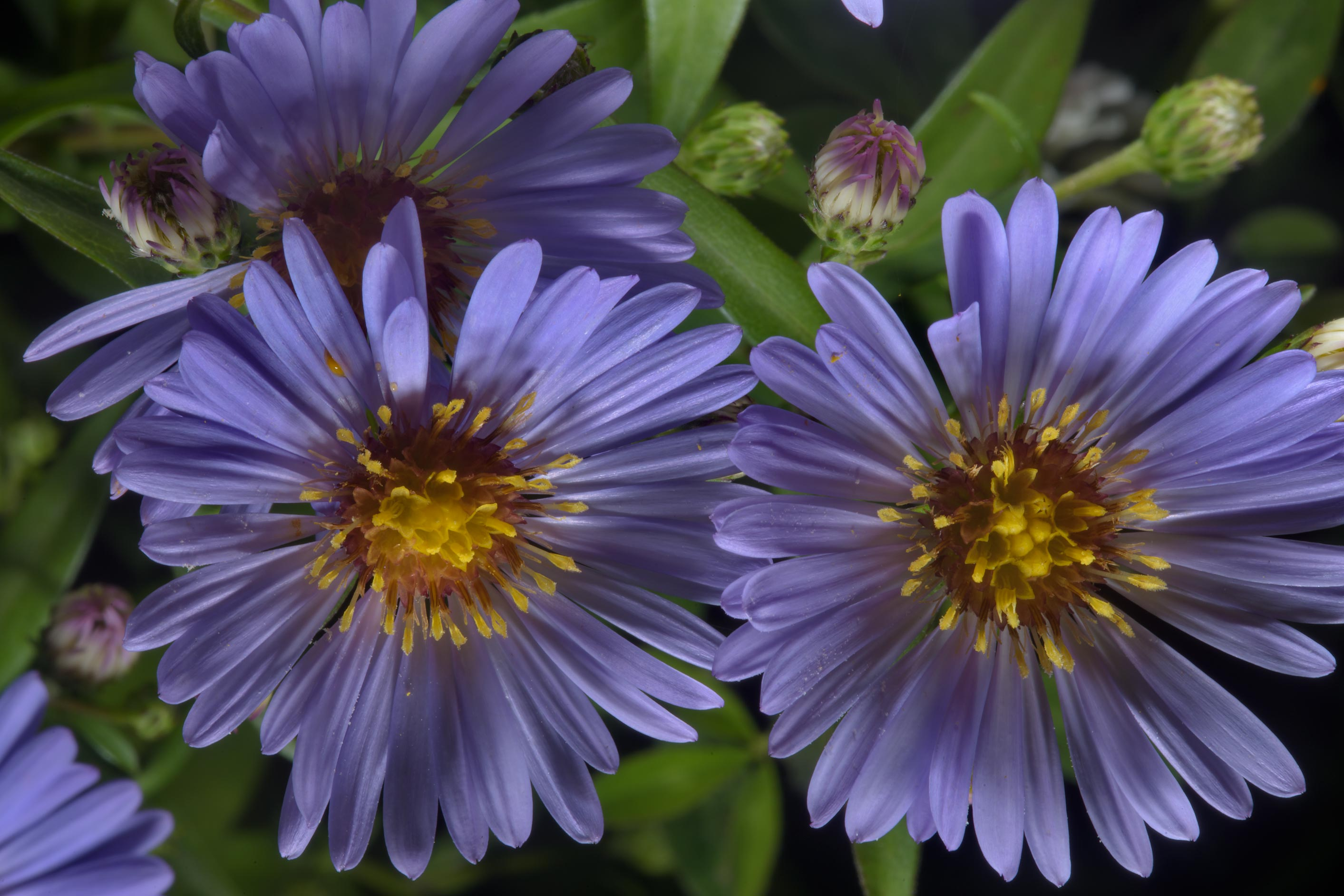 Panicled aster (Symphyotrichum lanceolatum, Aster...in northern St.Petersburg. Russia