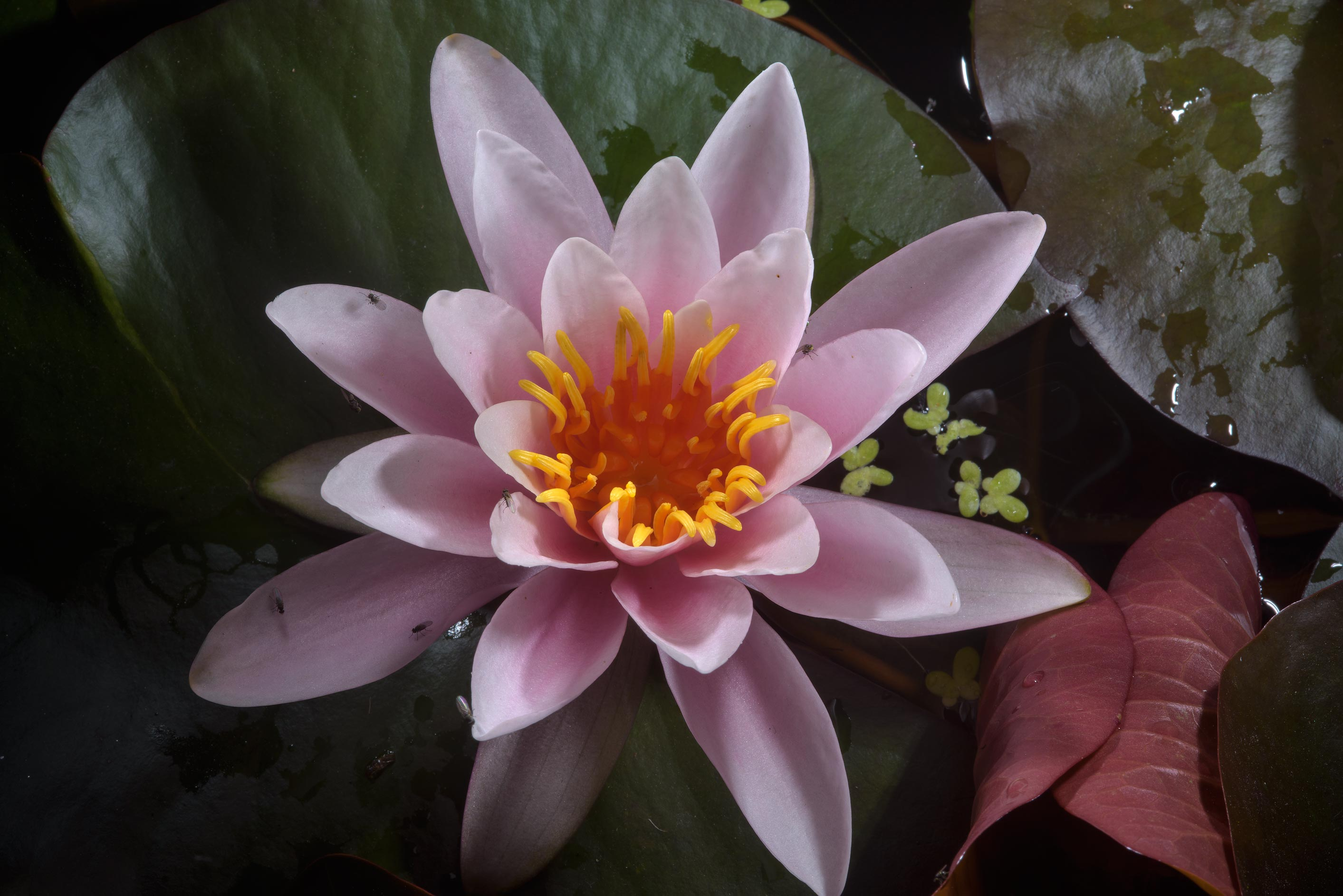 Water lily in Botanic Gardens of Komarov Botanical Institute. St.Petersburg, Russia