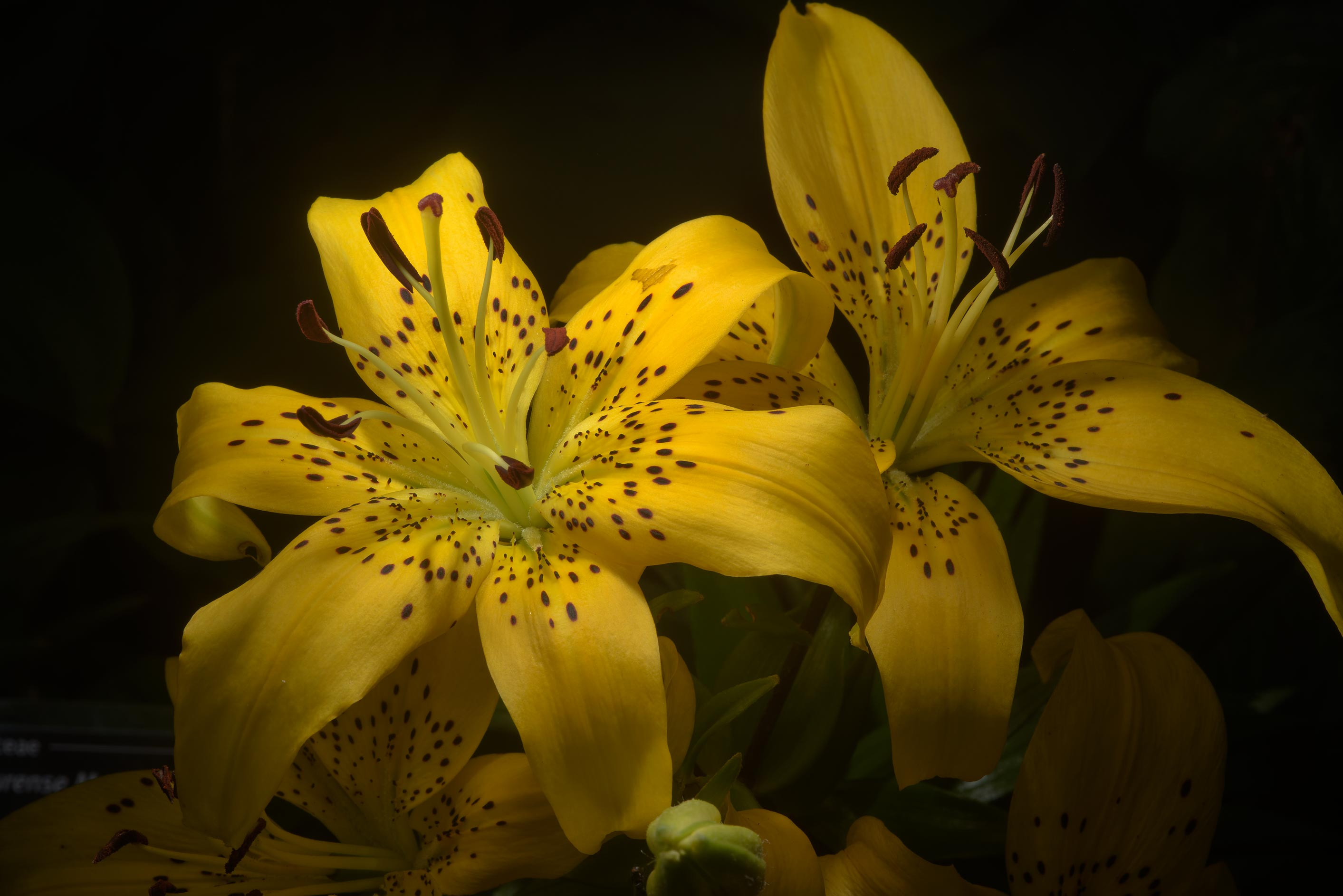 Yellow lily (Lilium 'Golden Cup') in Botanic...Institute. St.Petersburg, Russia