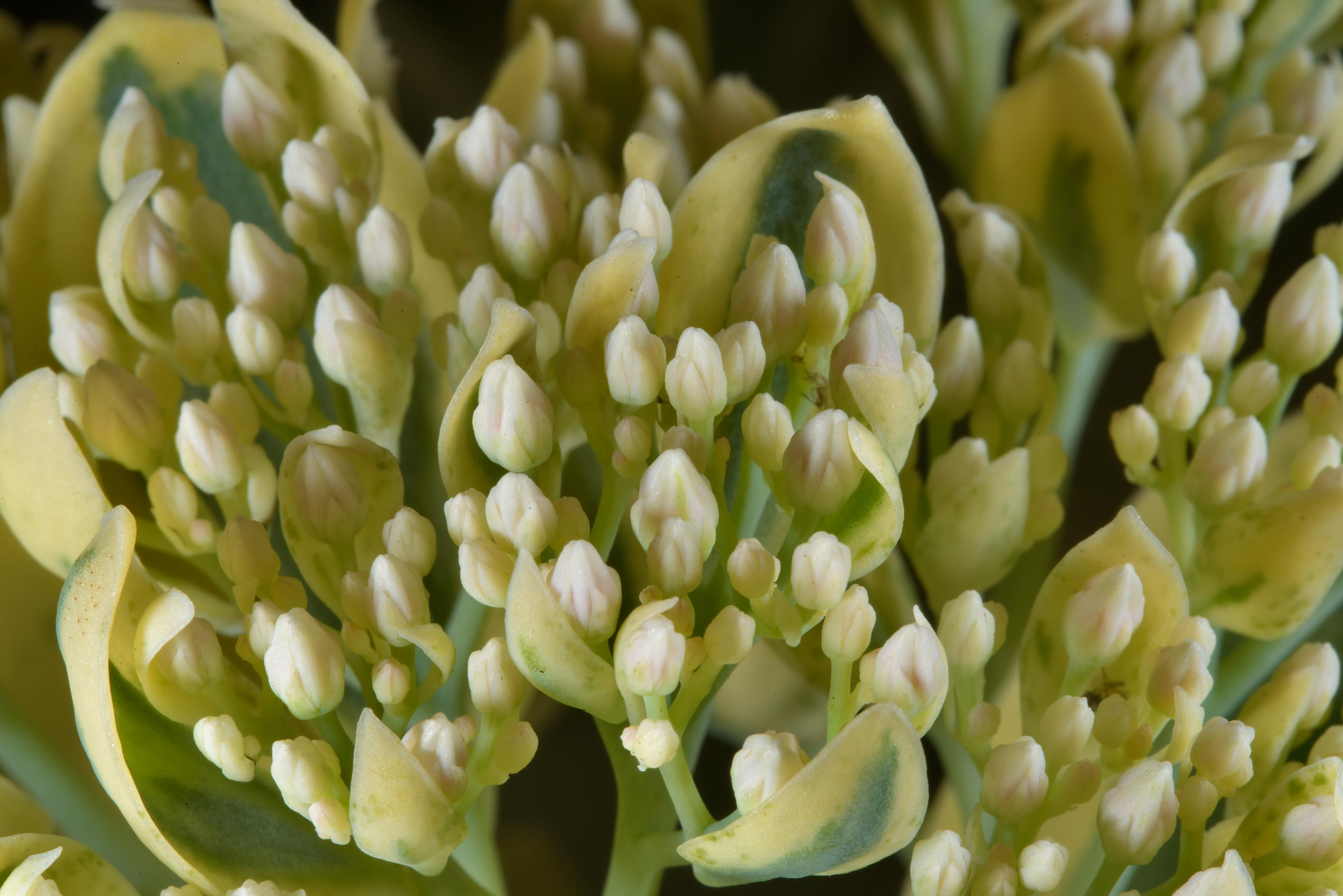 Sedum flower buds in Botanic Gardens of Komarov Botanical Institute. St.Petersburg, Russia