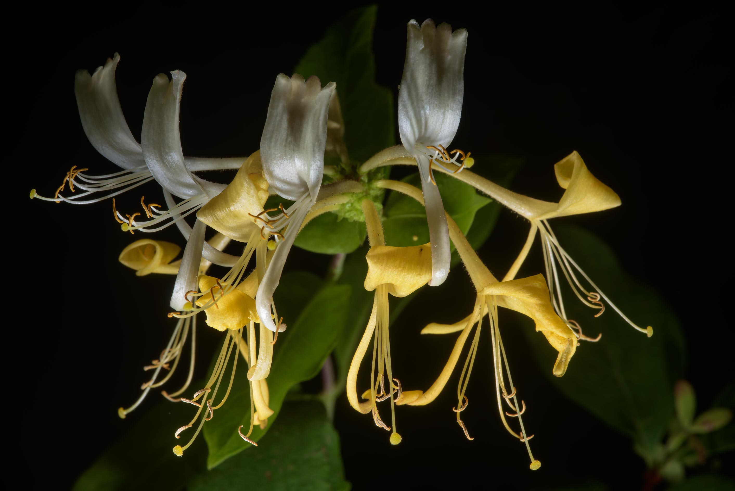 Flowers of fly honeysuckle (Lonicera xylosteum...Institute. St.Petersburg, Russia