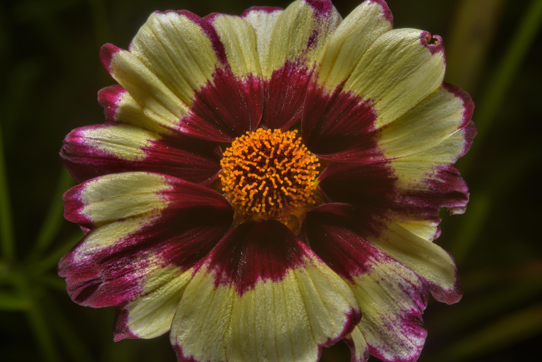 Photo 1864 24 Daisy Flower In Botanic Gardens Of Komarov Botanical