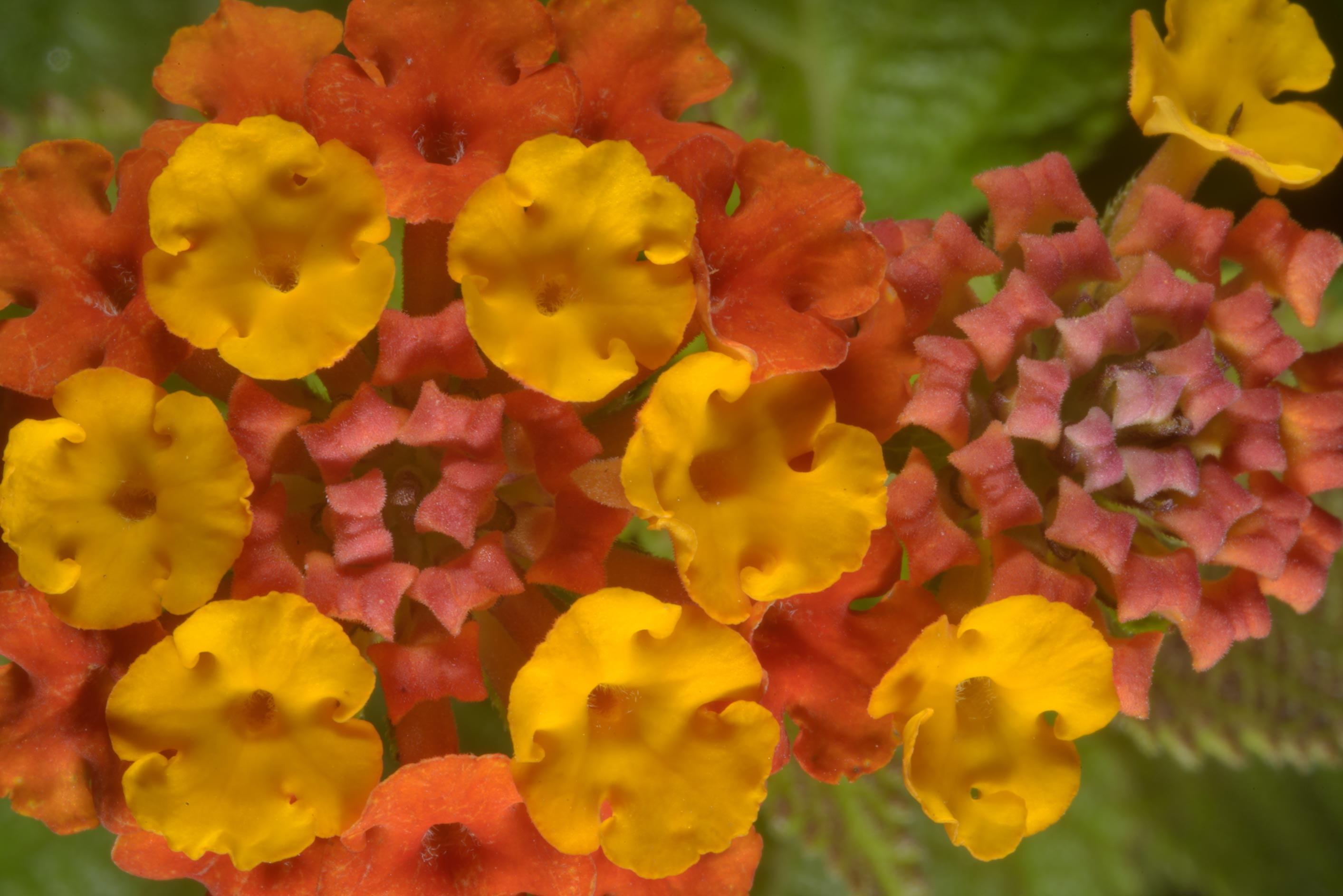 Lantana flowers in Botanic Gardens of Komarov Botanical Institute. St.Petersburg, Russia