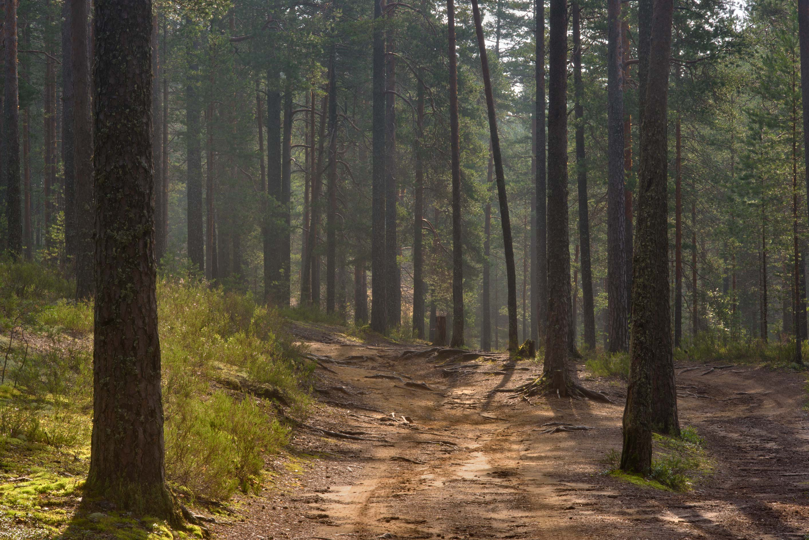 Sandy road in a pine forest near Orekhovo, north from St.Petersburg. Russia