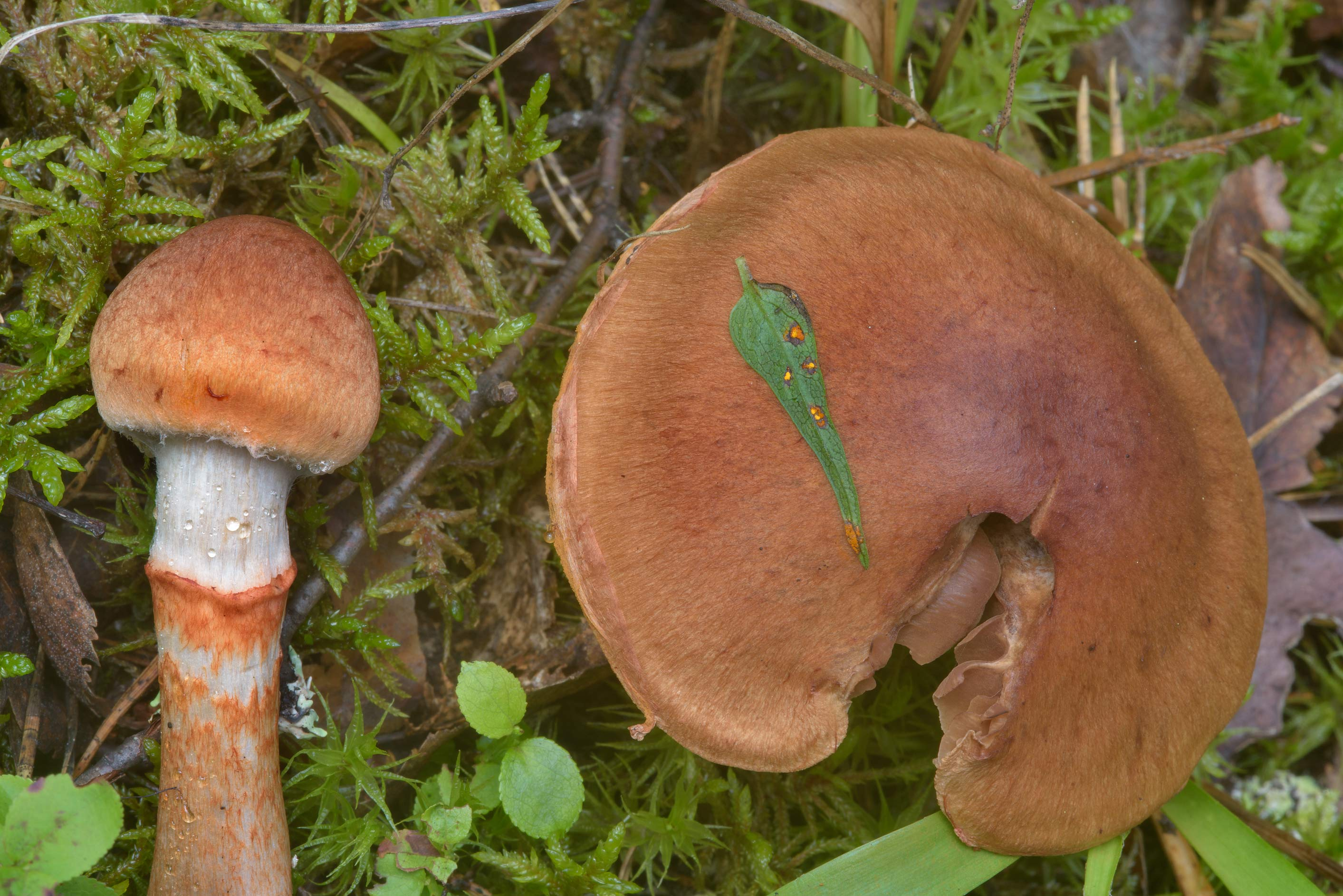 Red-banded webcap mushroom (Cortinarius...north from St.Petersburg. Russia