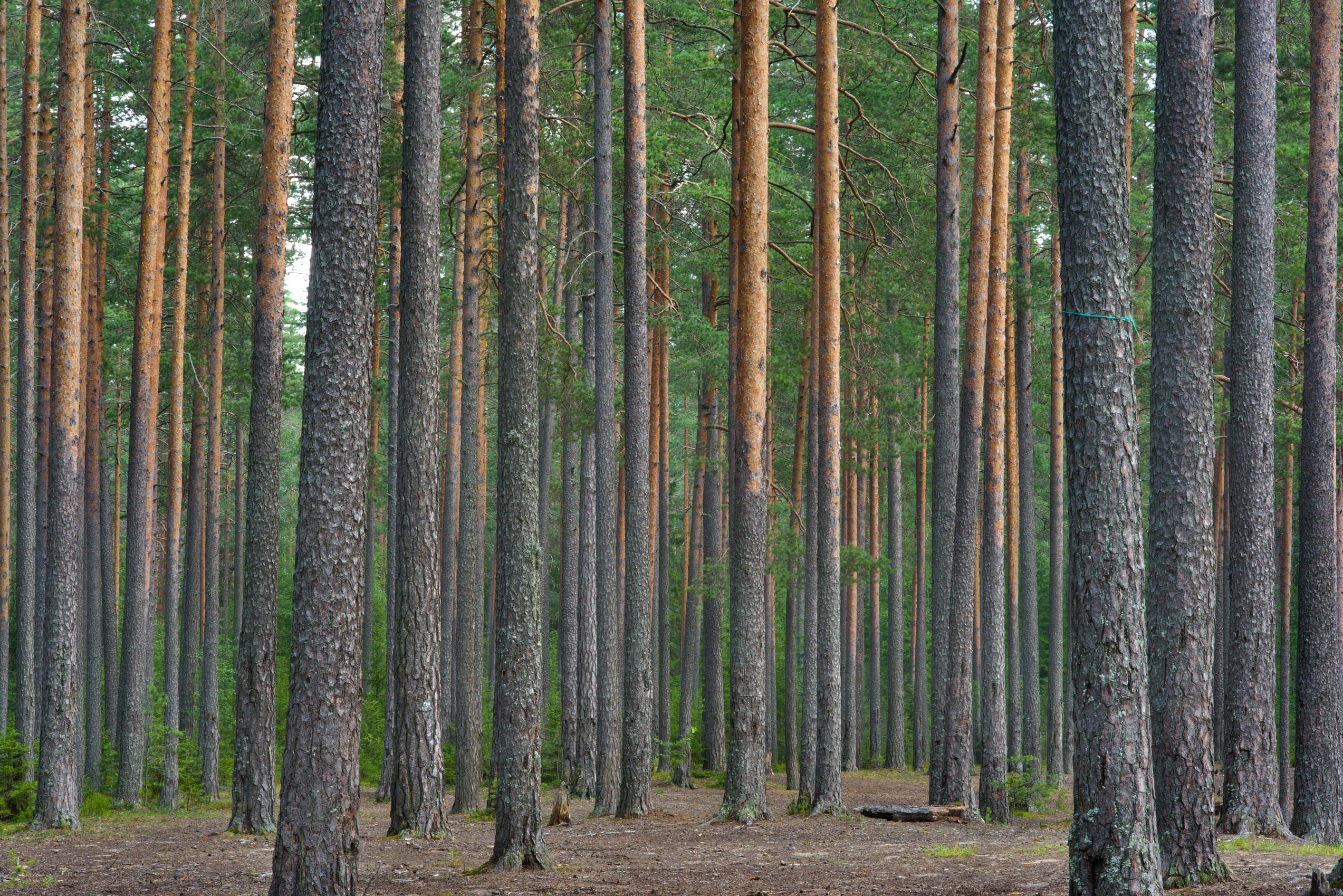 Pine forest near Orekhovo, north from St.Petersburg. Russia