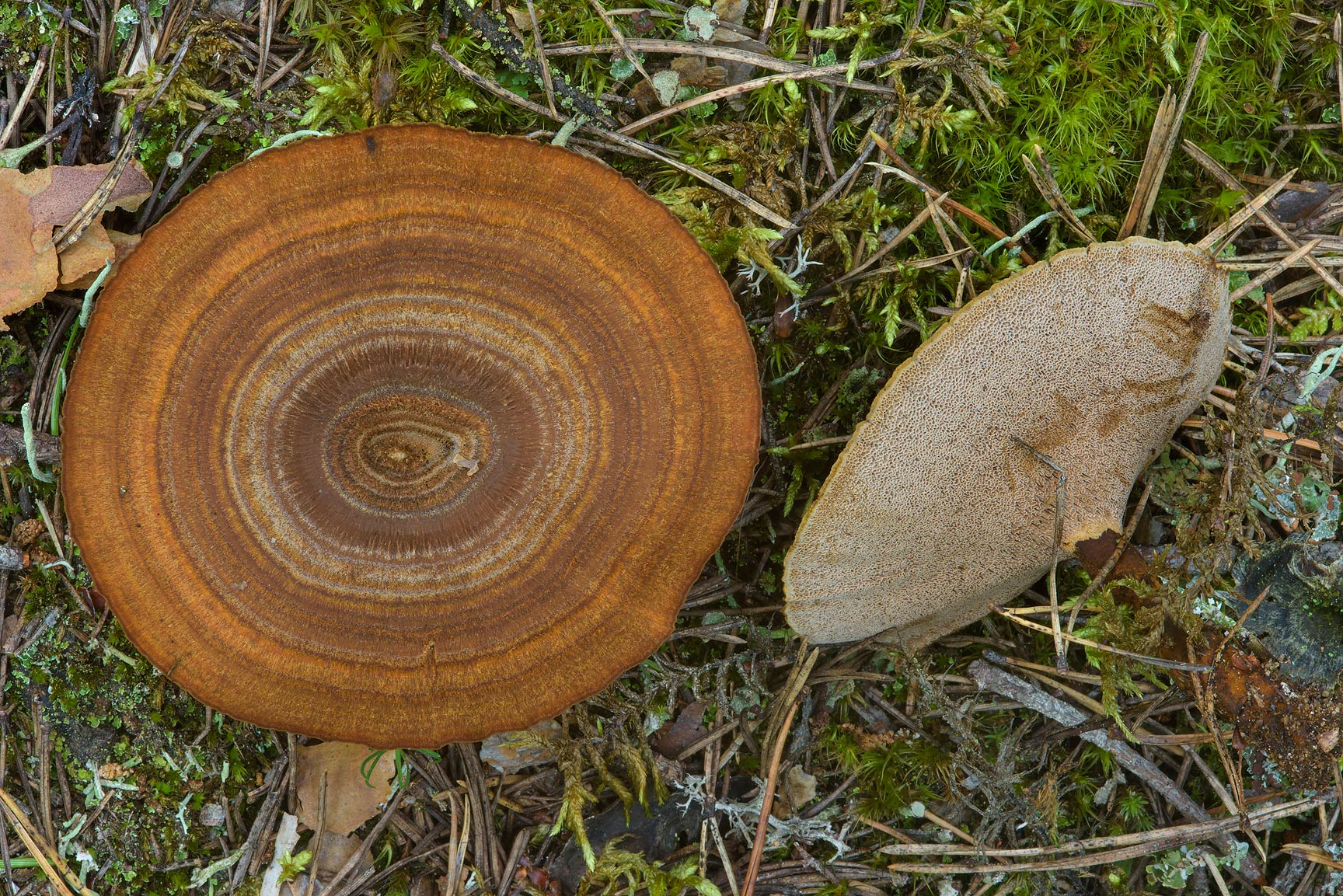 Tiger's eye mushrooms (Coltricia perennis...north from St.Petersburg. Russia