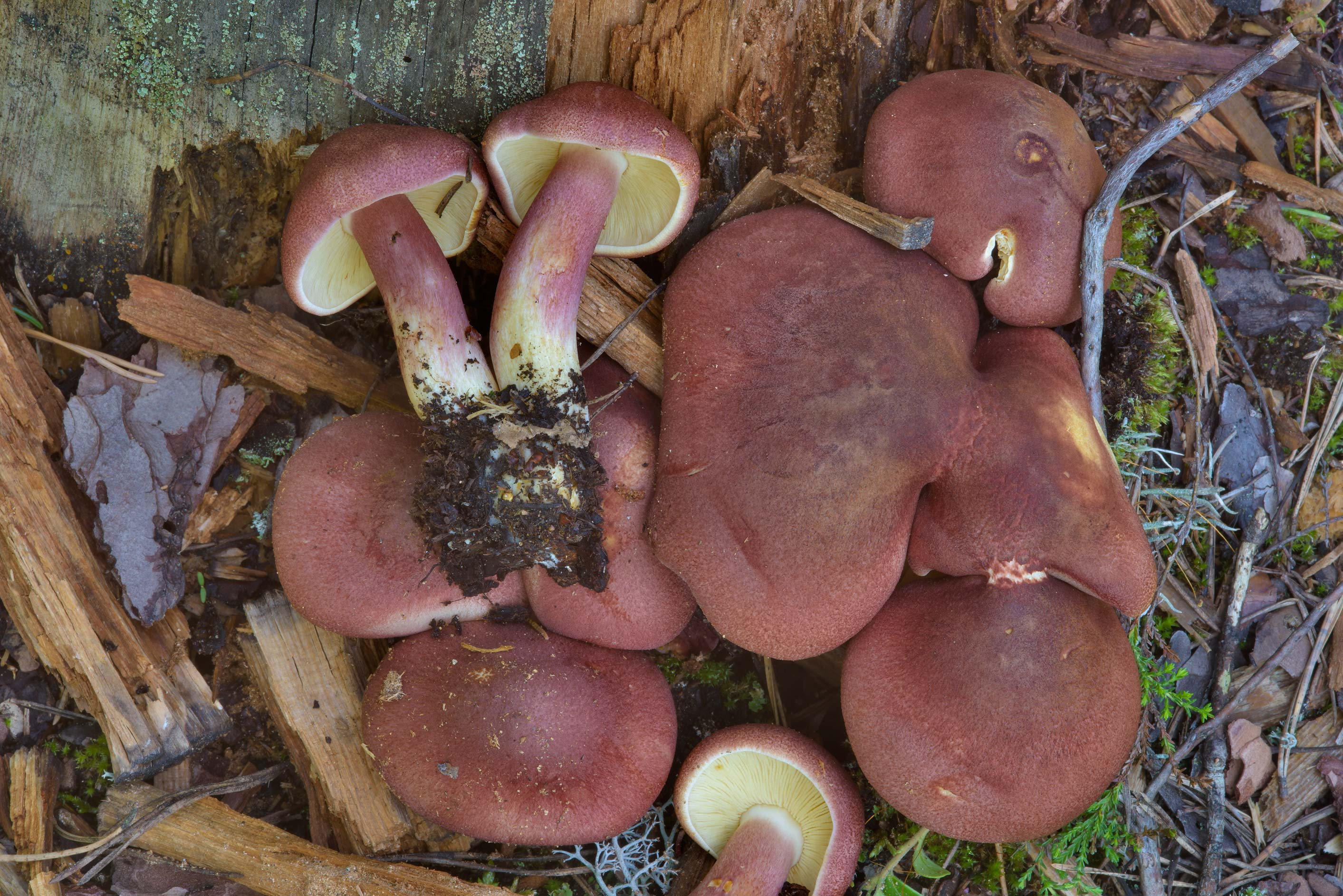 Plums and Custard mushrooms (Tricholomopsis...north from St.Petersburg. Russia
