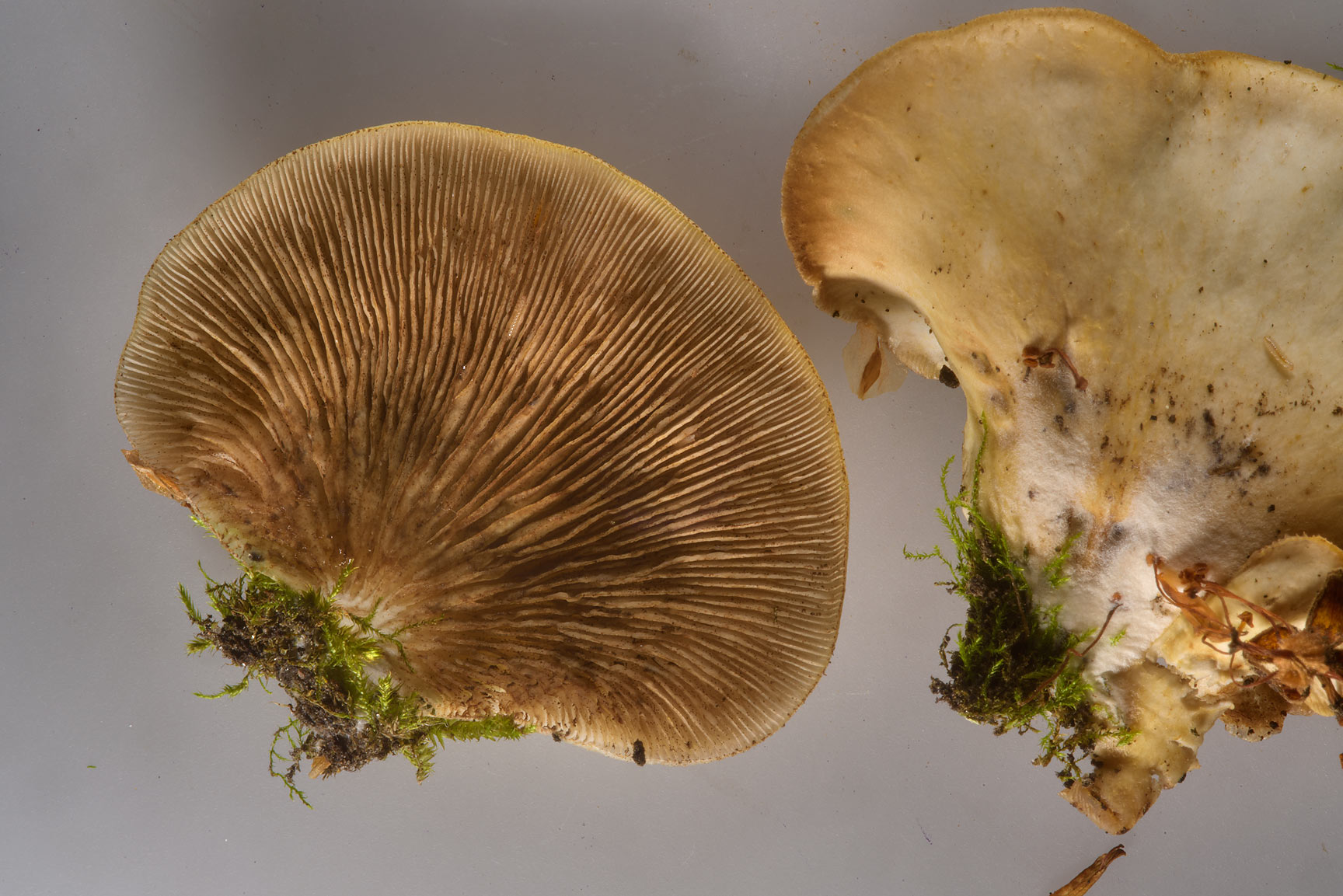 Flat oysterling mushrooms (Crepidotus applanatus...Pavlovsk near St.Petersburg, Russia