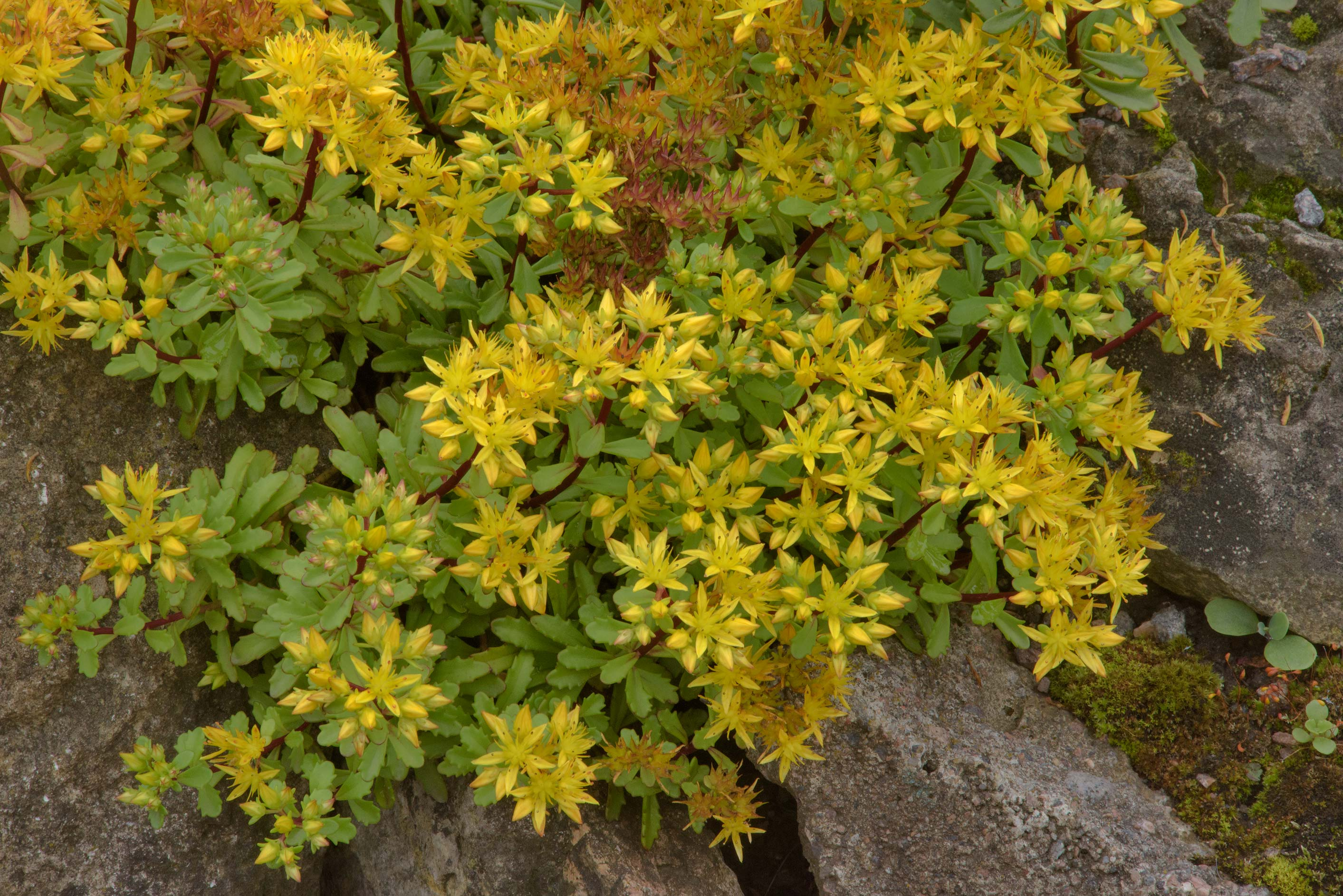 Yellow stonecrop in Botanic Gardens of Komarov Botanical Institute. St.Petersburg, Russia