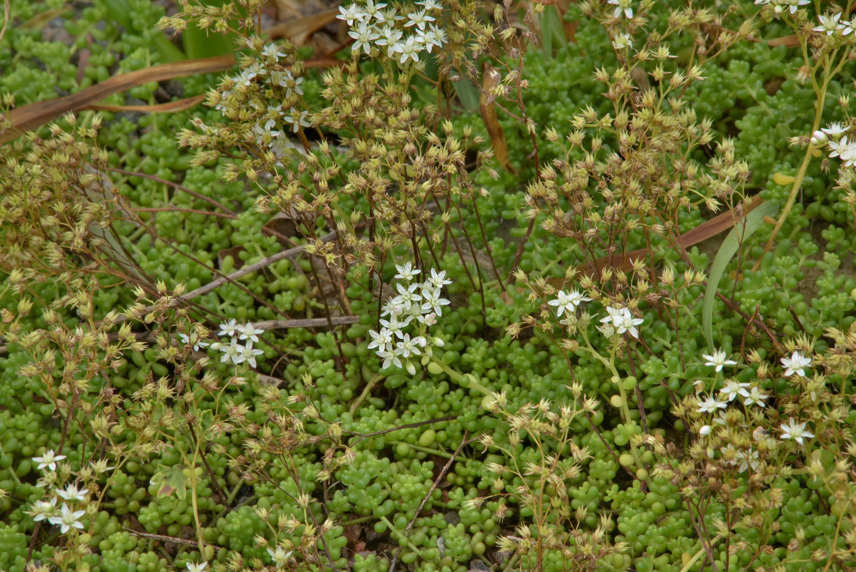 Photo 1868 18 Stonecrop Sedum Brevifolium In Botanic Gardens Of