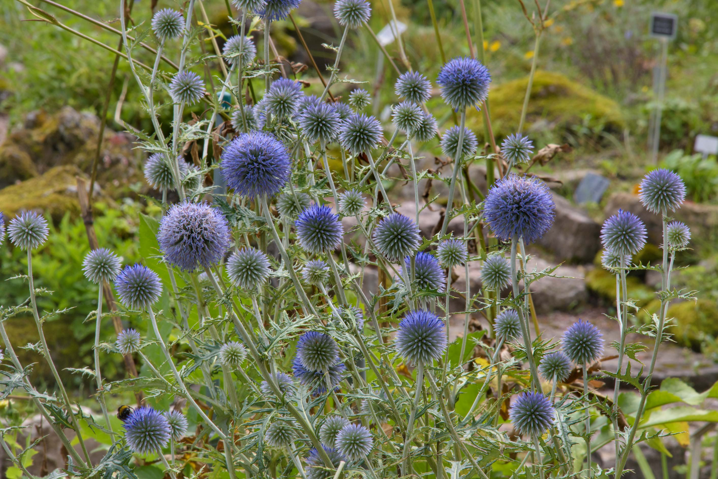 Globe thistle (Echinops) in Botanic Gardens of...Institute. St.Petersburg, Russia