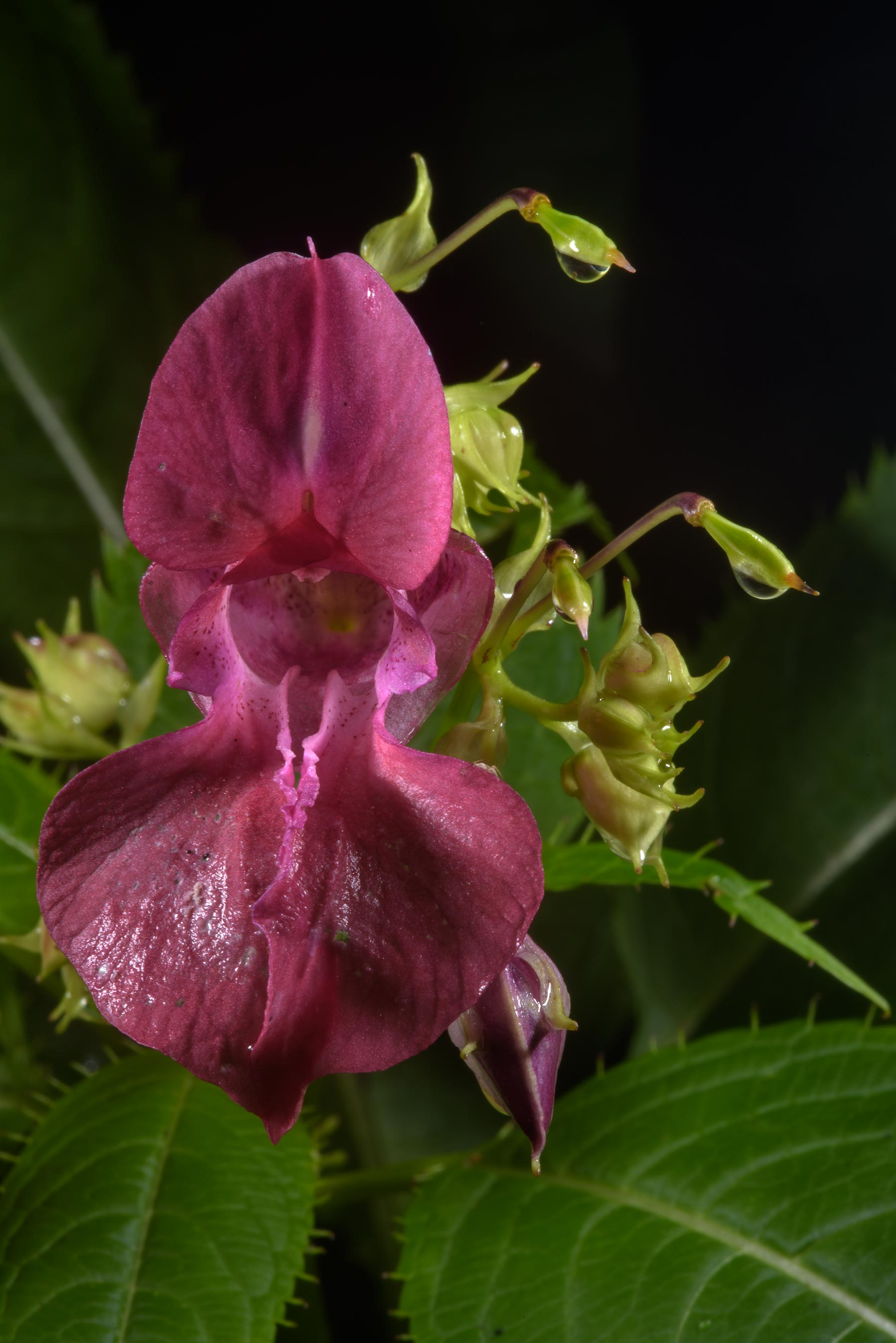 Invasive jewelweed Impatiens glandulifera in...north-west from St.Petersburg. Russia