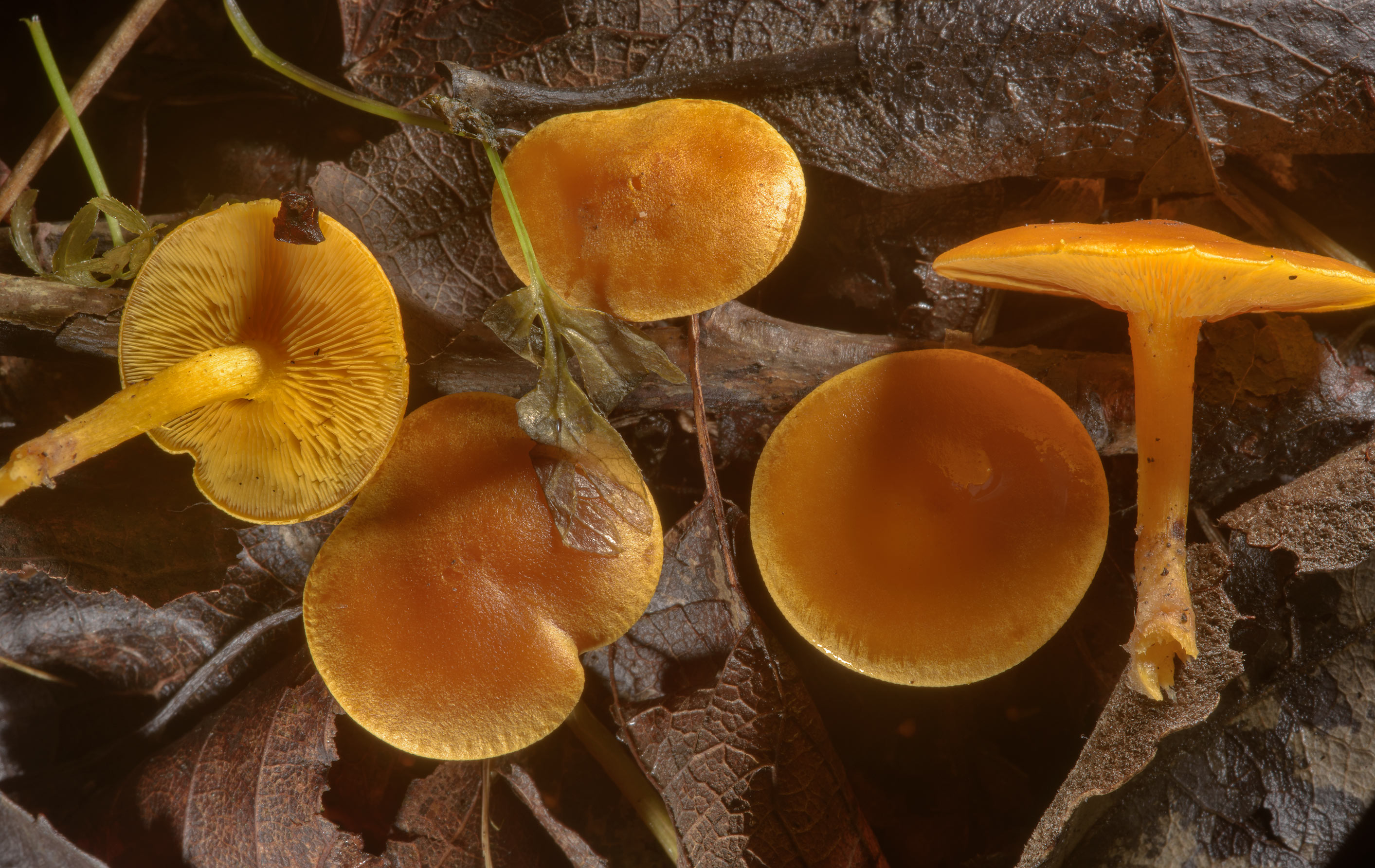 Golden mushrooms Rugosomyces chrysenteron...north from St.Petersburg. Russia