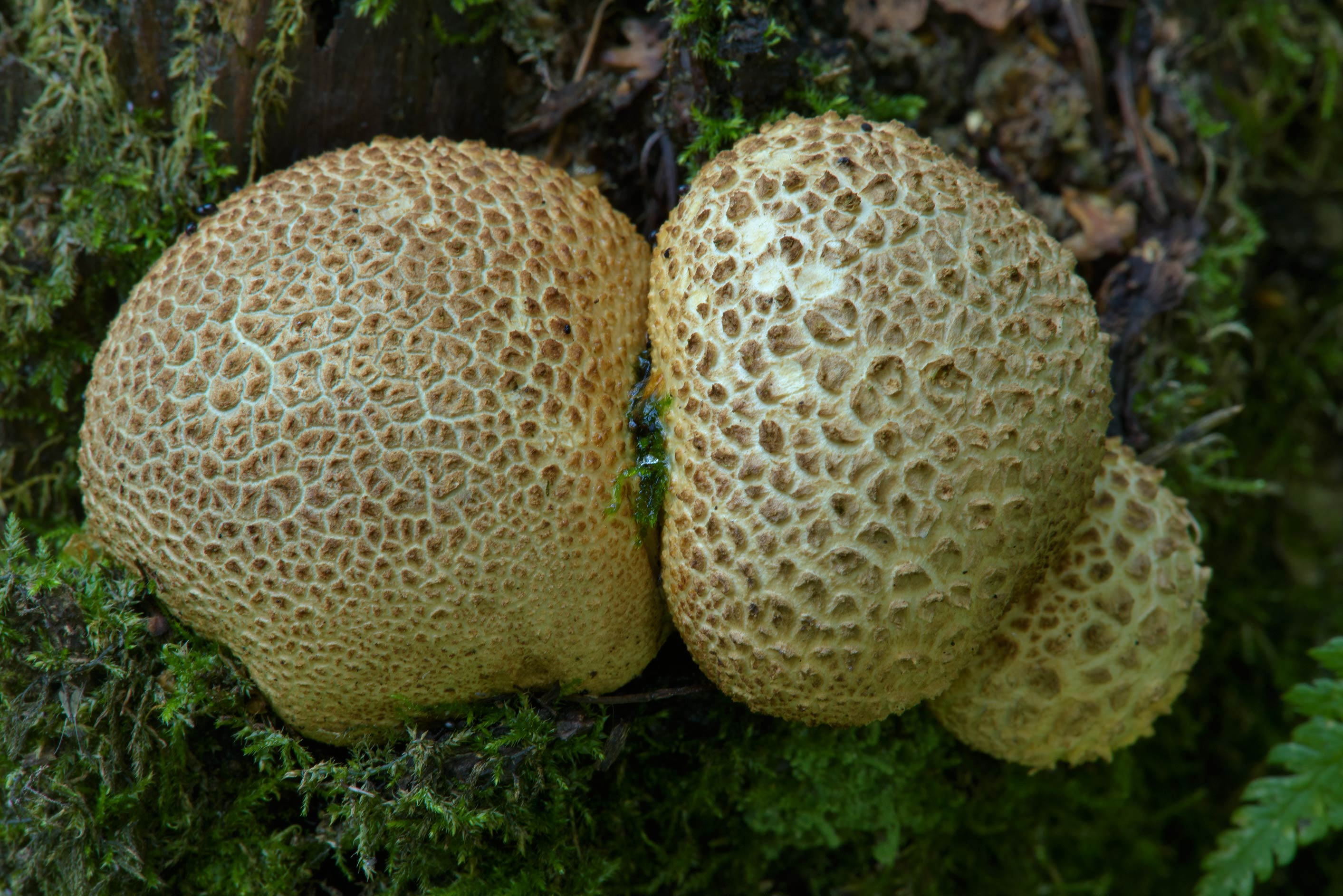 Earthball mushrooms (Scleroderma citrinum) in Sosnovka Park. St.Petersburg, Russia