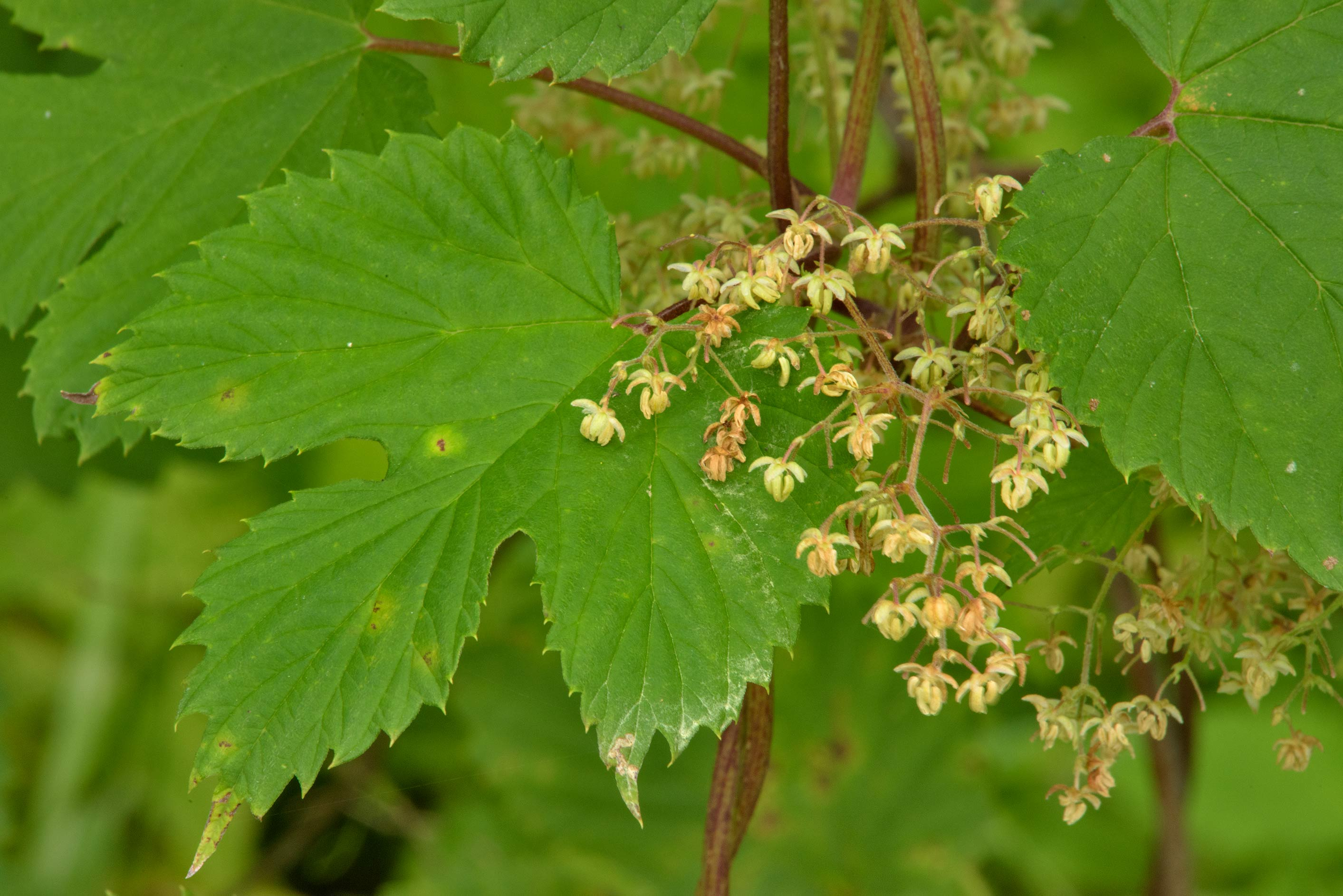 Staminate flowers of common hop (Humulus lupulus...miles west from St.Petersburg. Russia