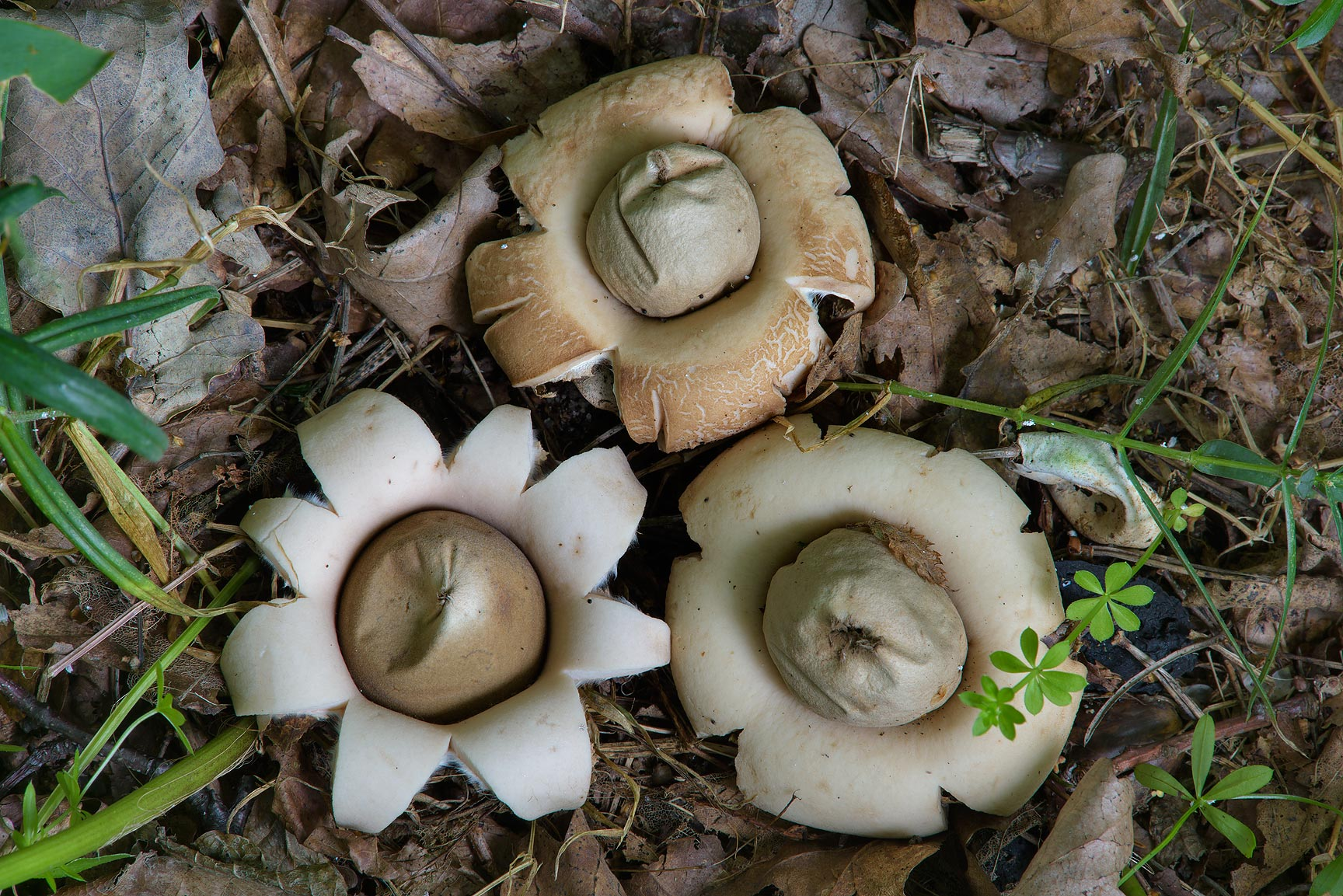Fruit bodies of fringed earthstar mushrooms...miles west from St.Petersburg. Russia