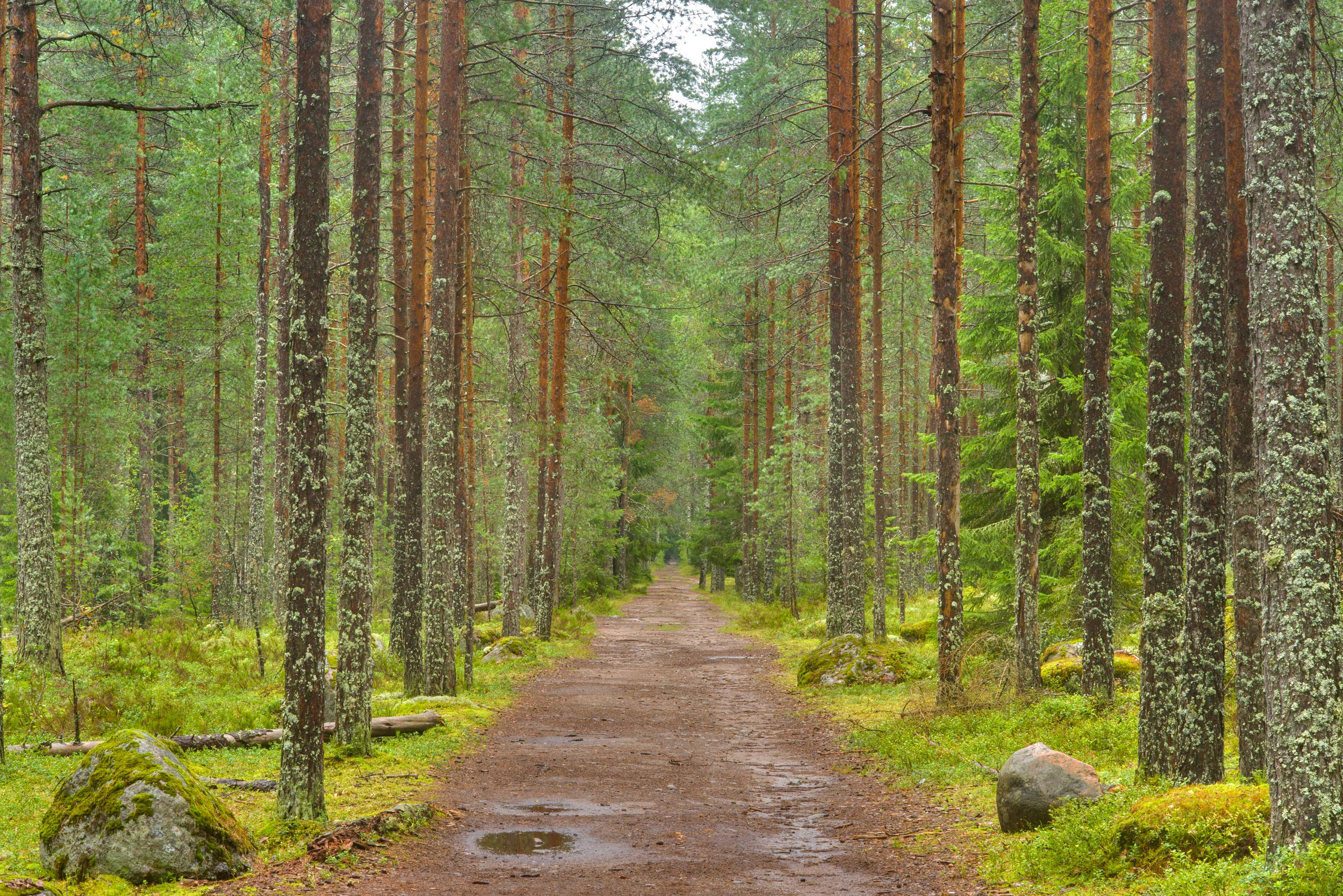 Road in pine forest in Zakhodskoe, 50 miles north...Petersburg. Leningrad Region, Russia
